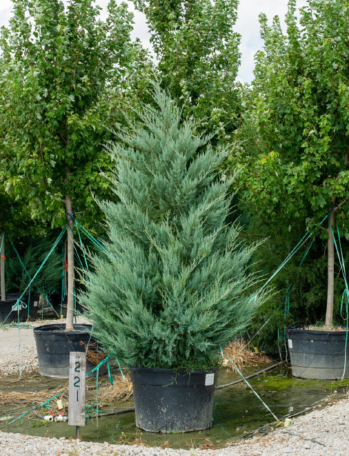 Eastern Red Cedar 'Burkii' Image