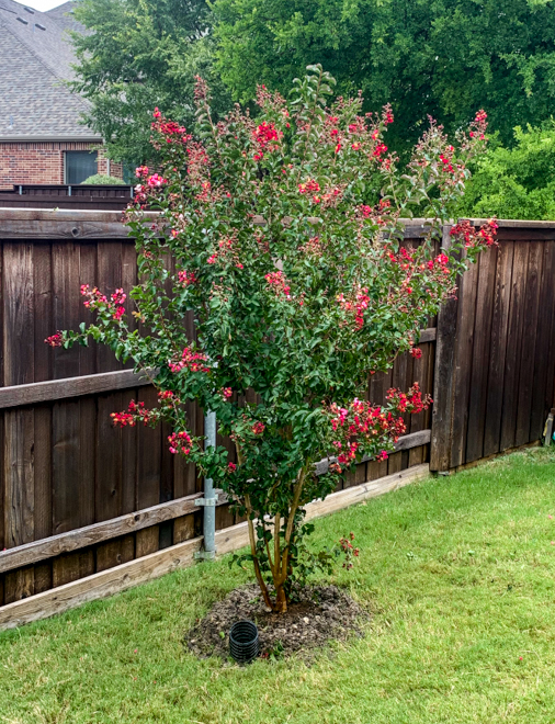 A beautiful Centennial Crape Myrtle with rich magenta blooms.