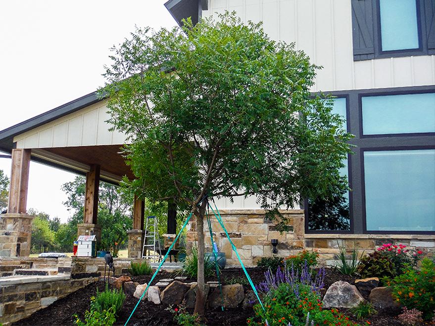 Large Chinese Pistachio installed by Treeland Nursery.