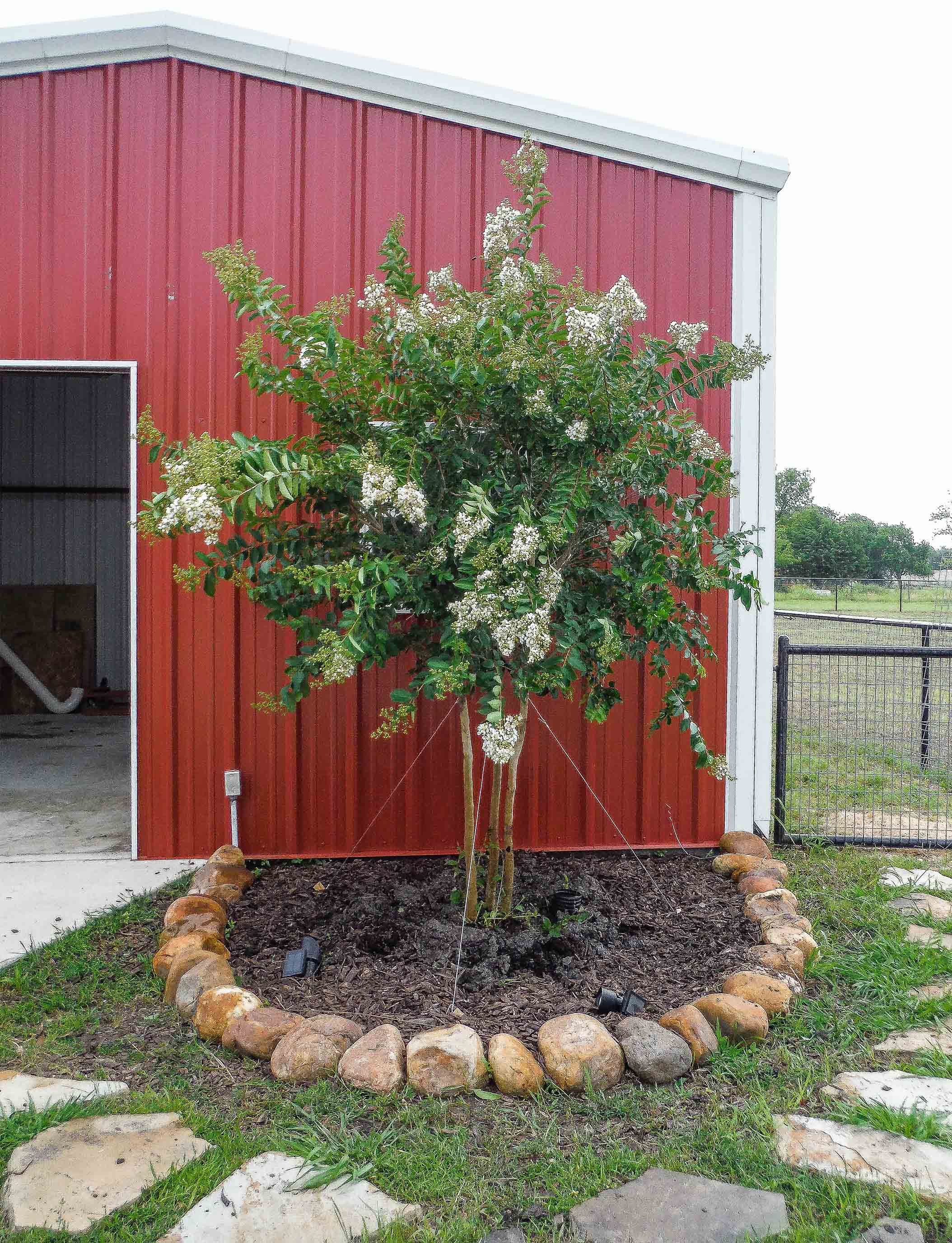 Natchez Crape Myrtle blooming with white flowers. Installed by Treeland Nursery.