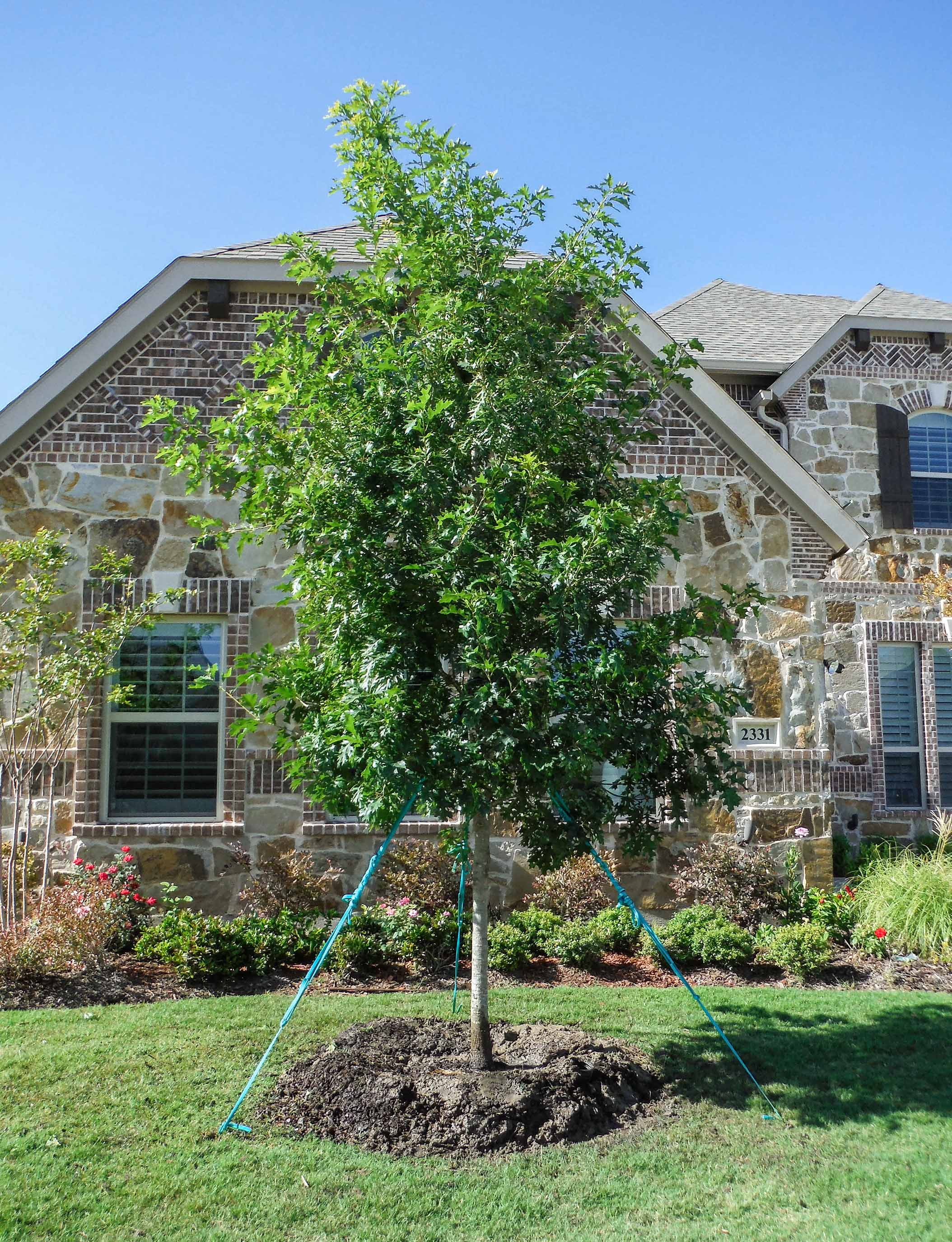 Red Oak tree planted and installed in a frontyard by Treeland Nursery.