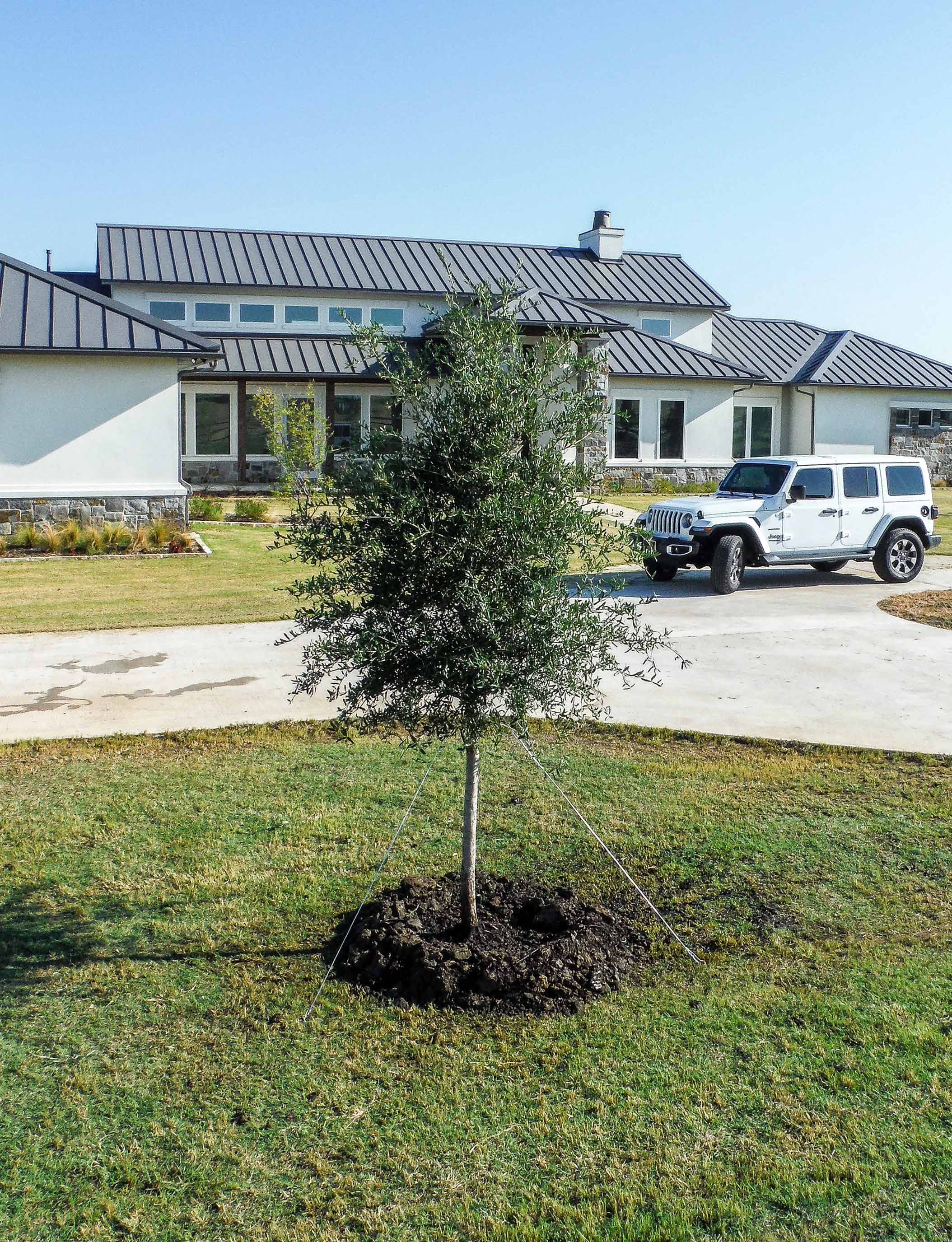 Small Live Oak tree planted  by a driveway. Installed by Treeland Nursery.