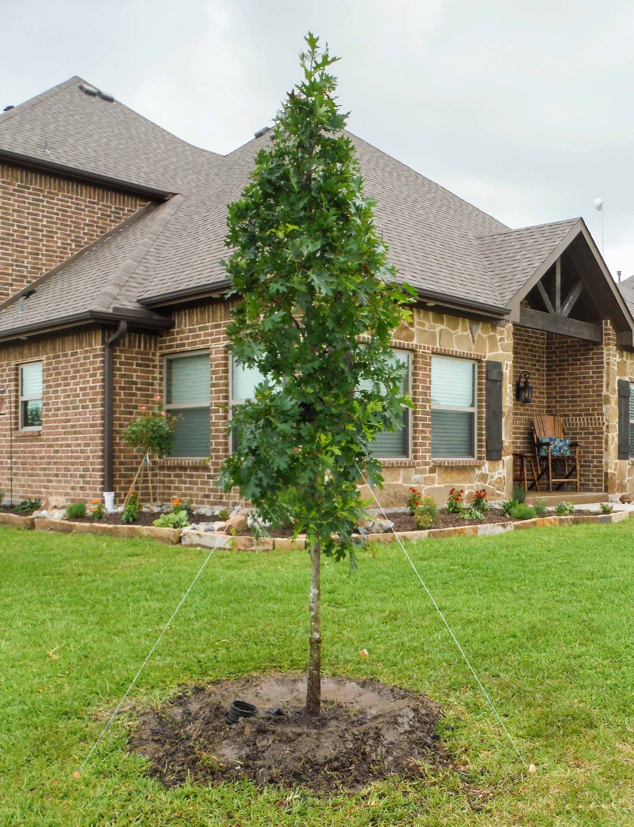 Small Red Oak tree planted by Treeland Nursery.