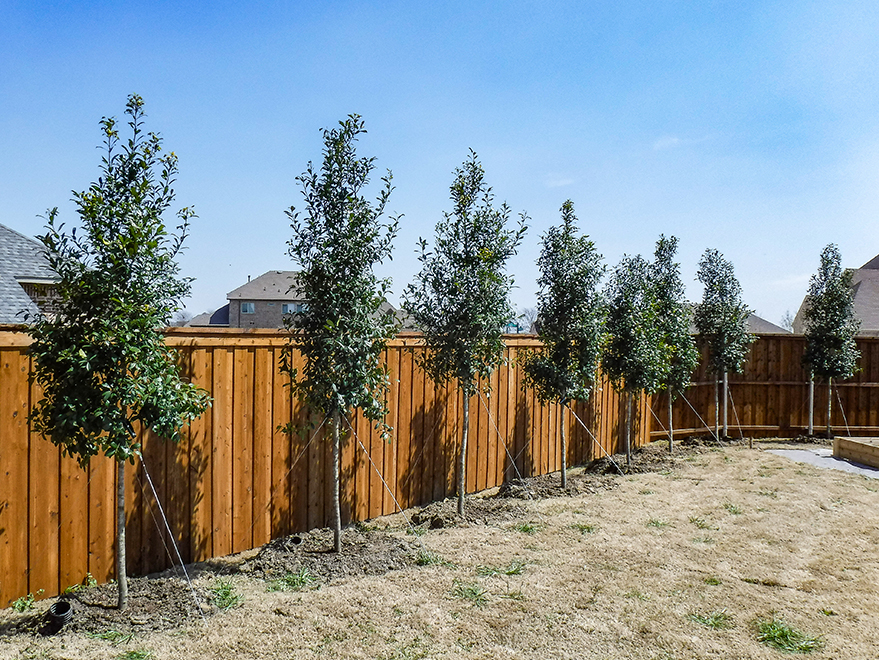 Eagleston Holly Tree Form - Eagleston Holly Privacy Screen