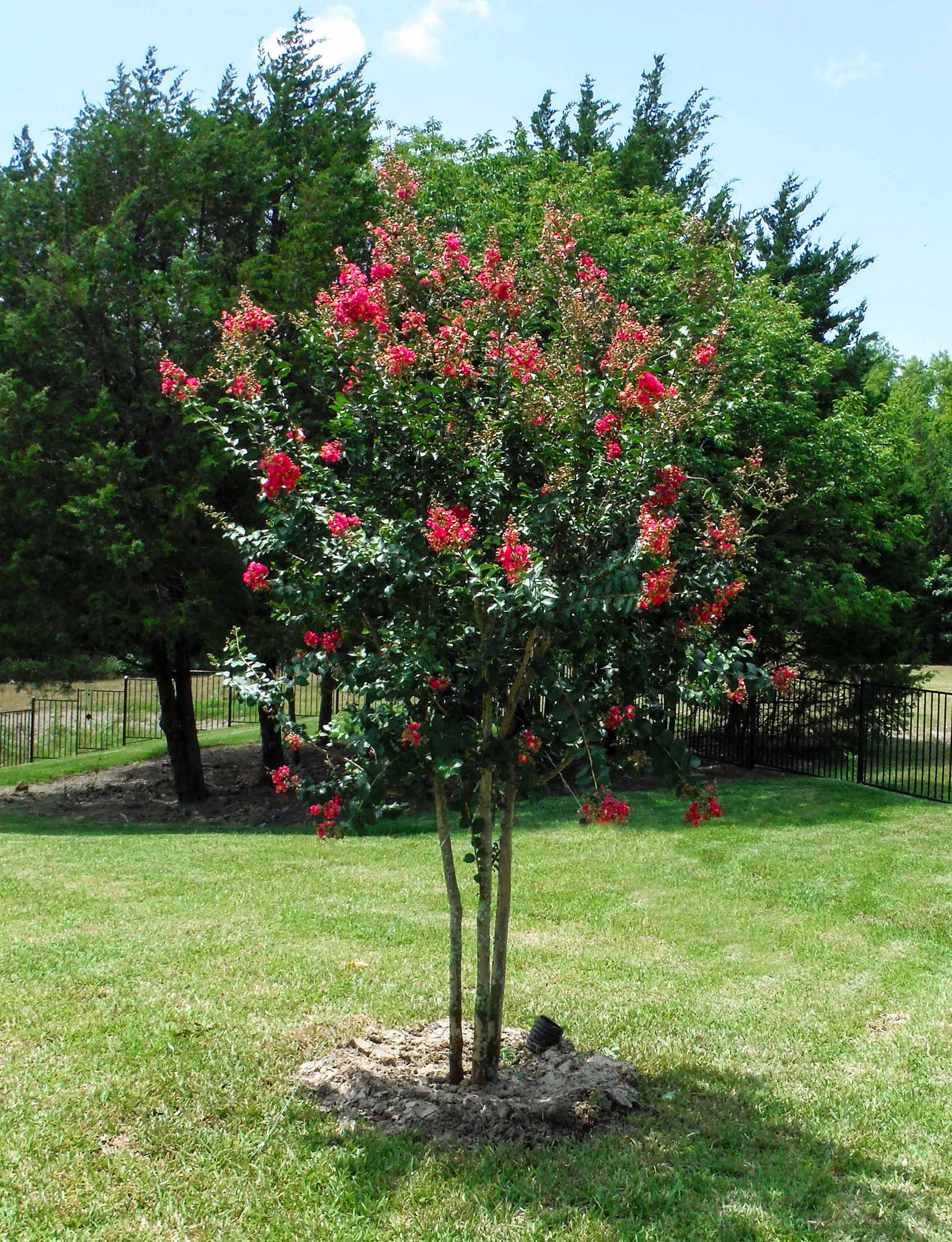 Tuscarora Crape Myrtle tree blooming with bubble gum pink flowers. Installed by Treeland Nursery.