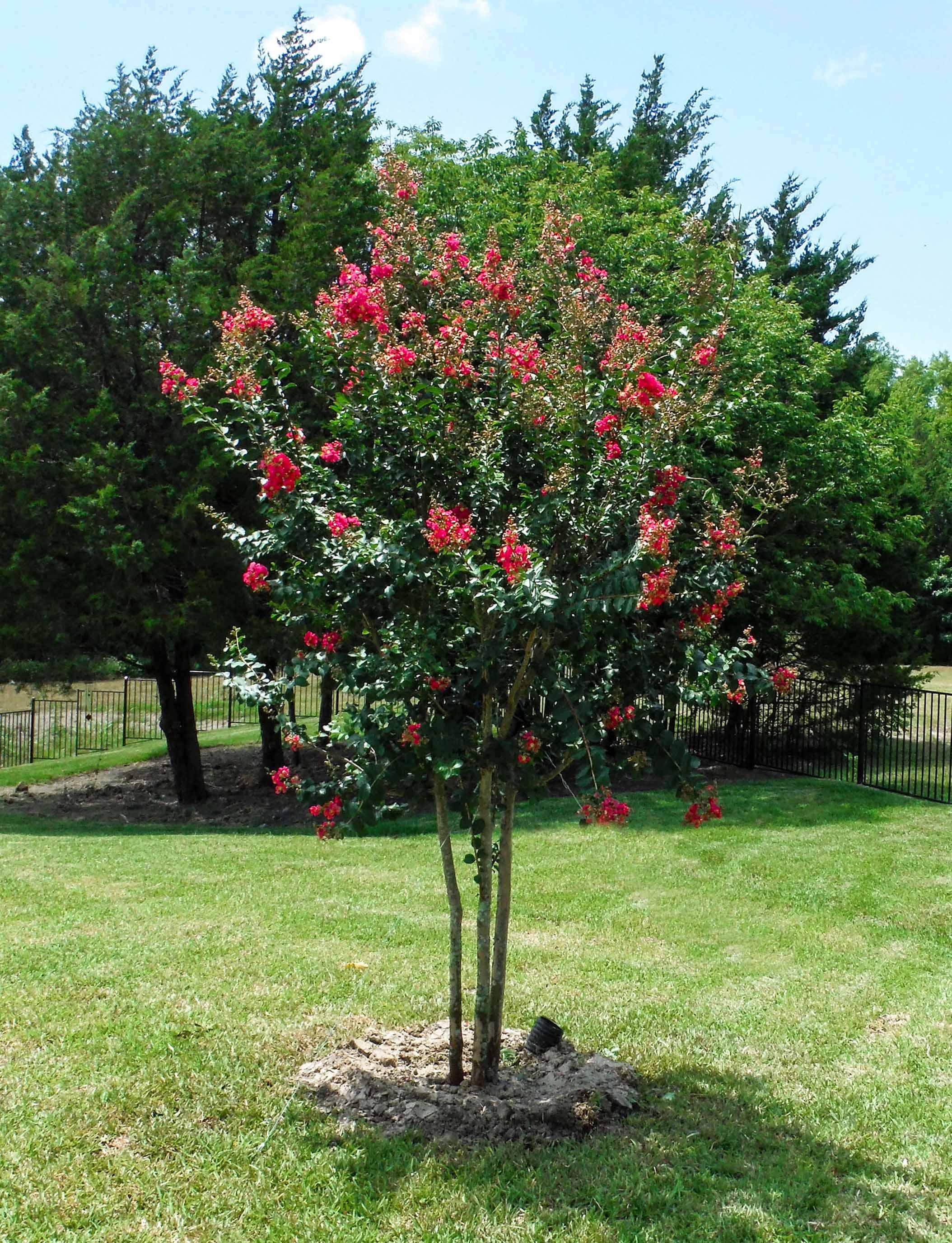 Blooming Tuscarora Crape Myrtle.