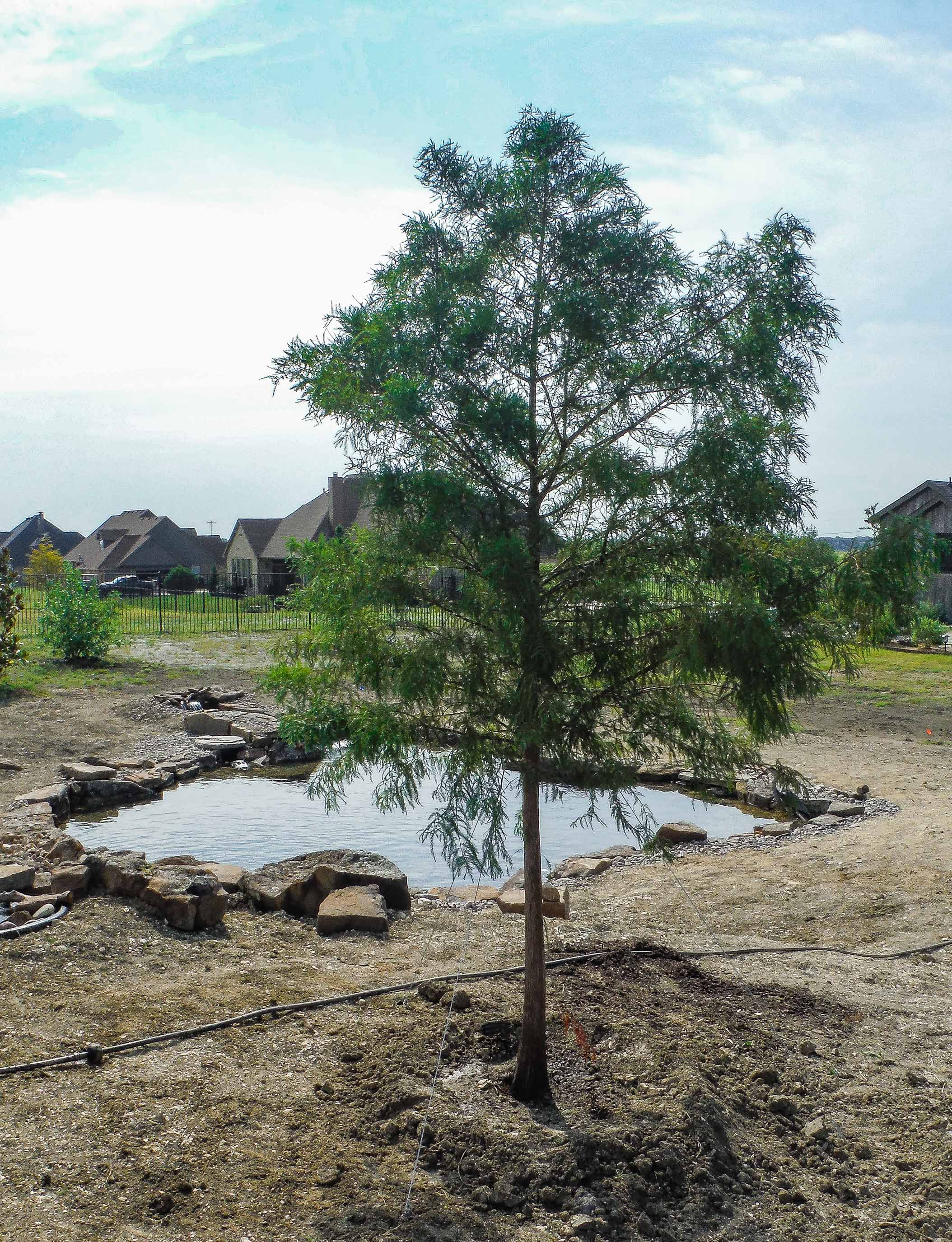 Bald Cypress tree installed by Treeland Nursery.