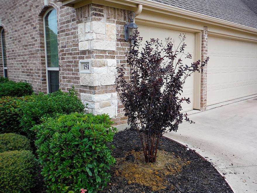 Black Diamond Crape Myrtle installed in a front yard flower bed by Treeland Nursery.