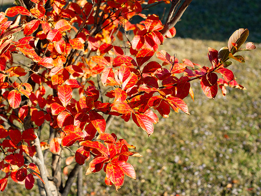 Centennial Crape Myrtle with Fall foliage. Photographed in Gunter, TX by Treeland Nursery.