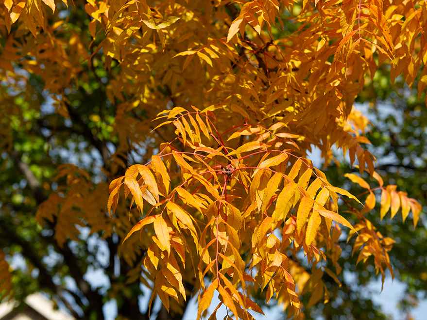 Chinese Pistachio just starting to transition during the Fall. They start out with yellow and then that fades into the oranges and reds. Photographed in Prosper, TX by Treeland Nursery.