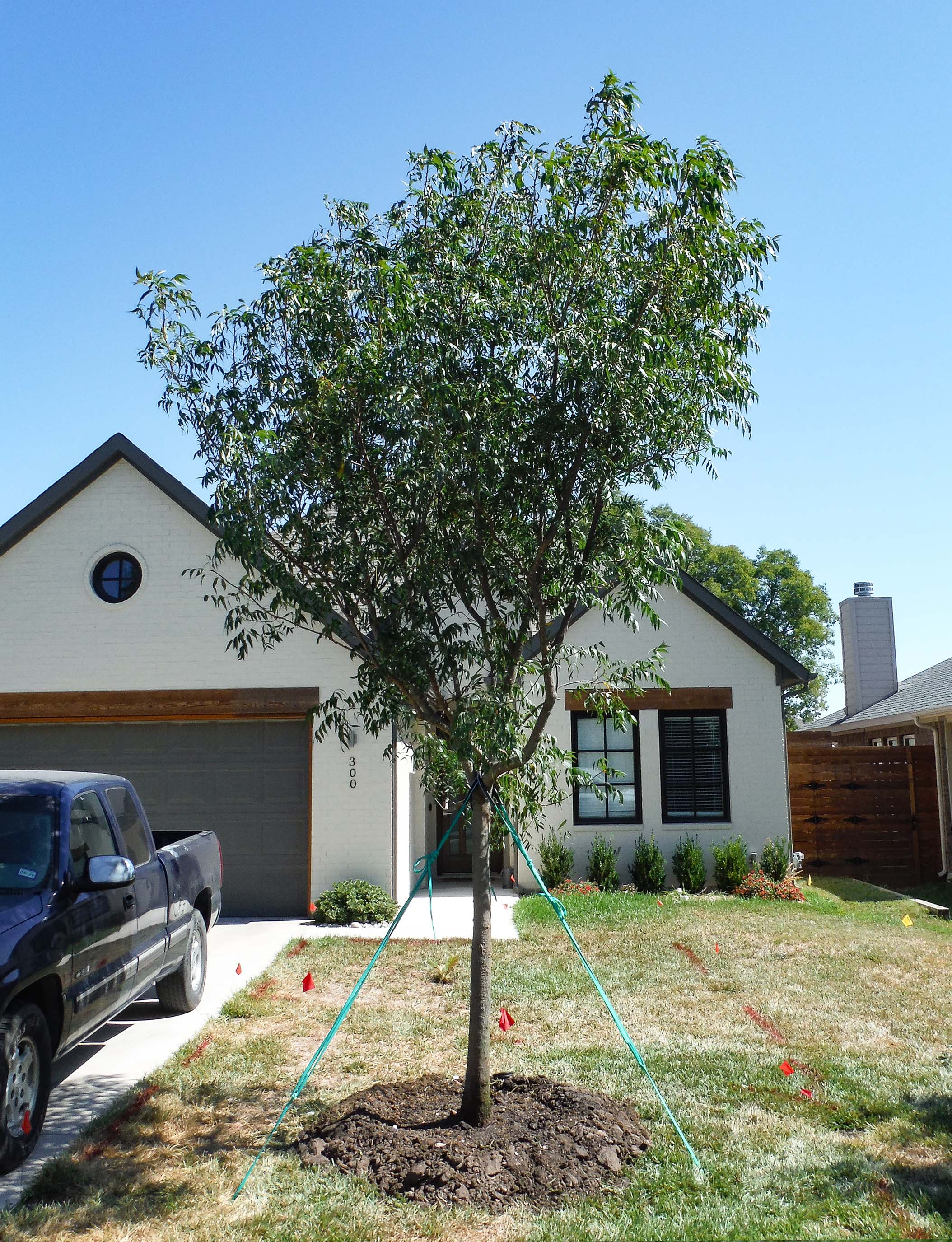 Chinese Pistachio tree planted in a Dallas, TX frontyard by Treeland Nursery.