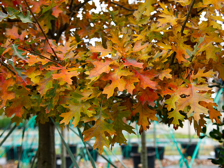Red Oak with bright yellow and orange Fall color. Picture take at Treeland Nursery.
