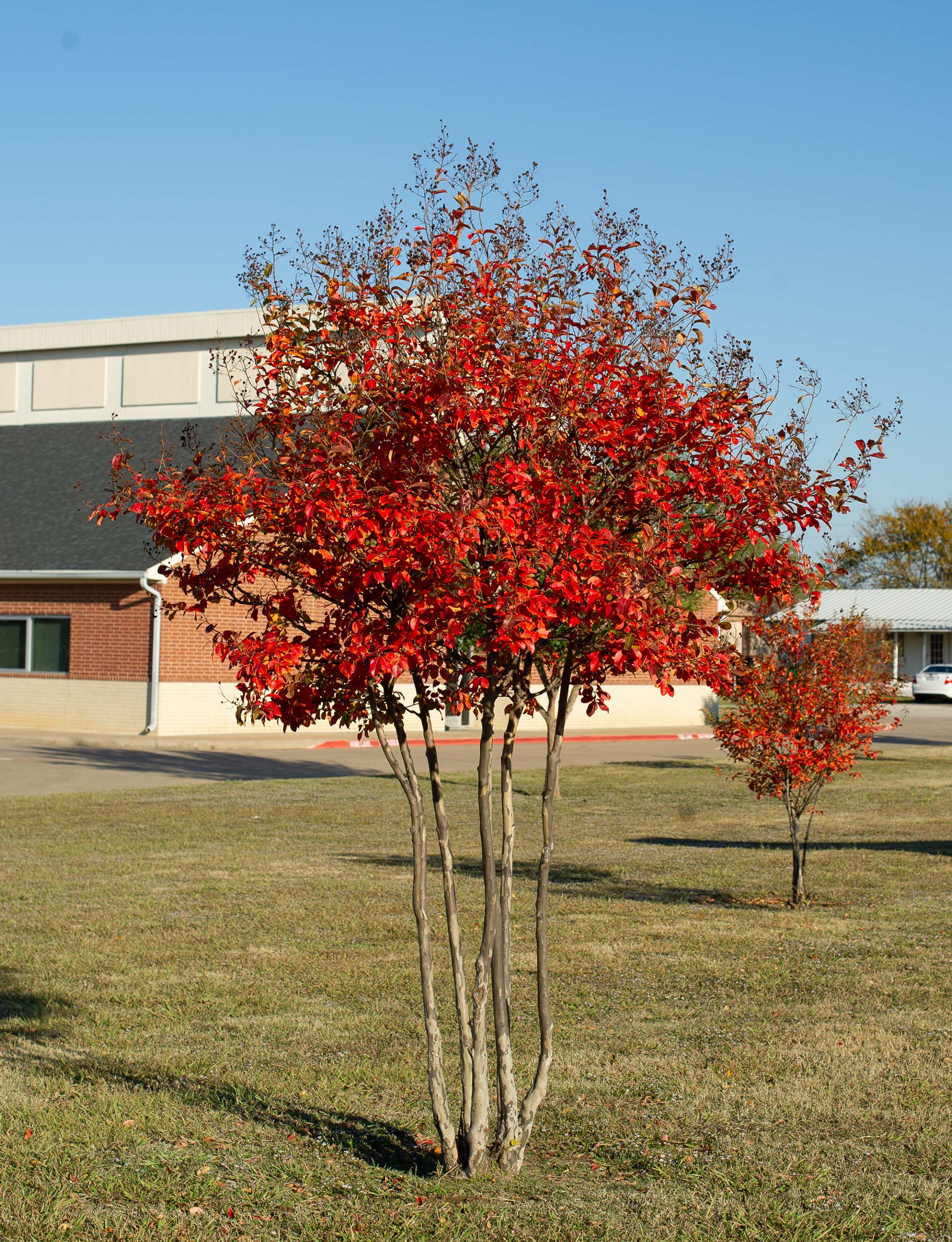 Beautiful Fall foliage on a Centennial Crape Myrtle. Photographed in Gunter, TX by Treeland Nursery.