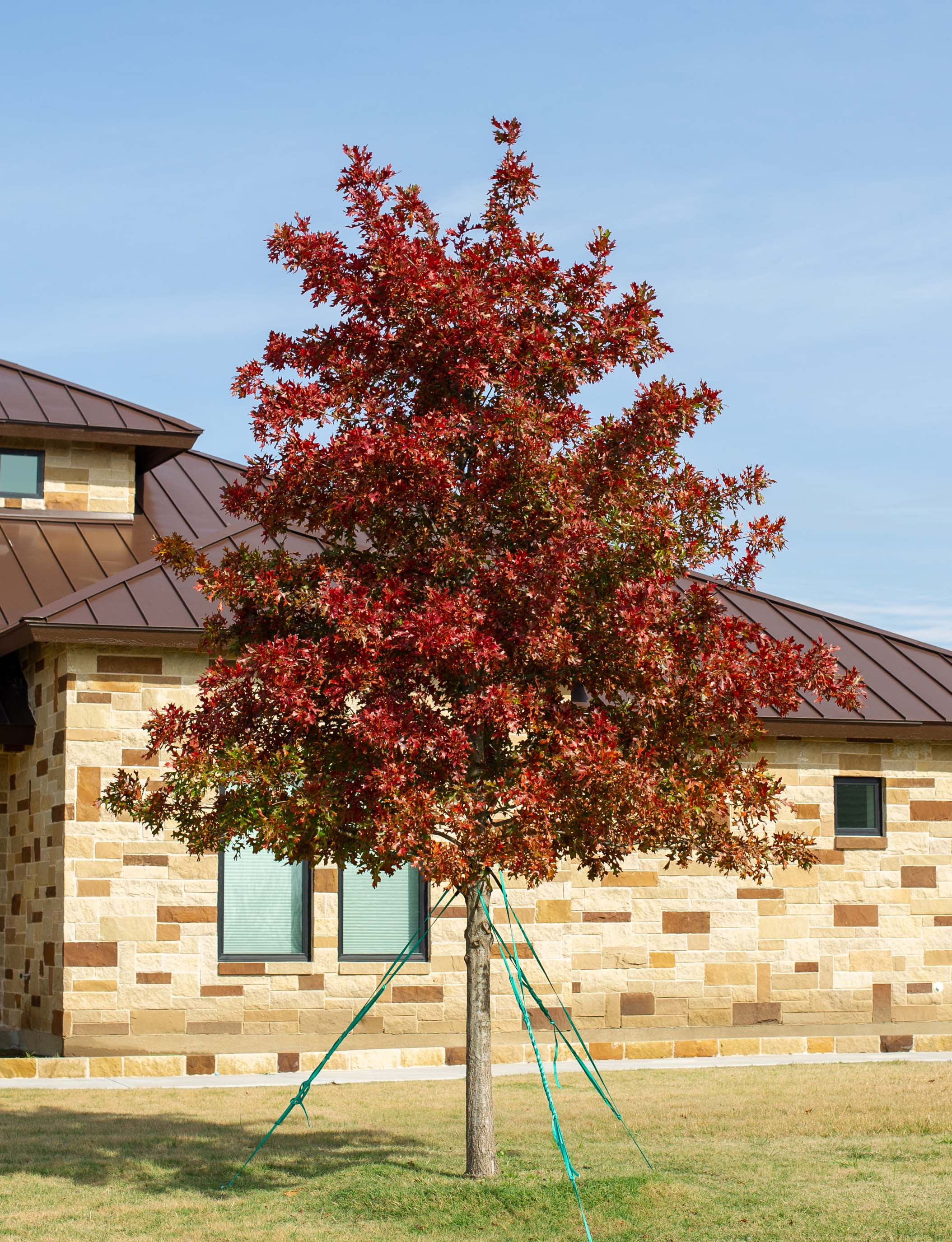 Red Oak tree with Fall foliage. Tree planted and installed by Treeland Nursery.