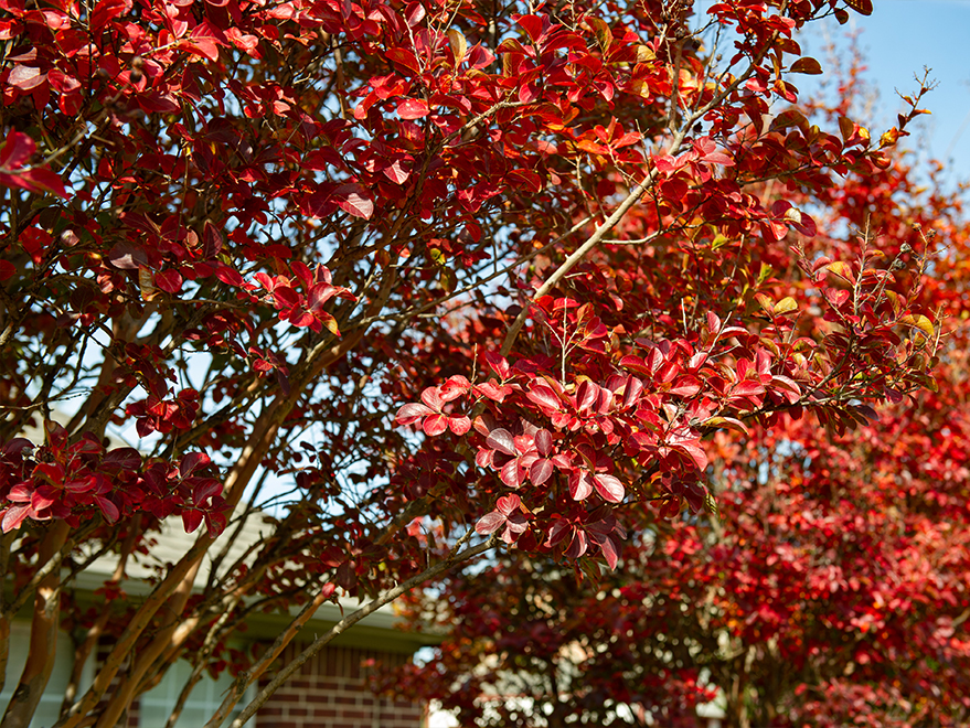 Muskogee Crape Myrtle with Fall foliage. Photographed in Prosper, TX by Treeland Nursery.