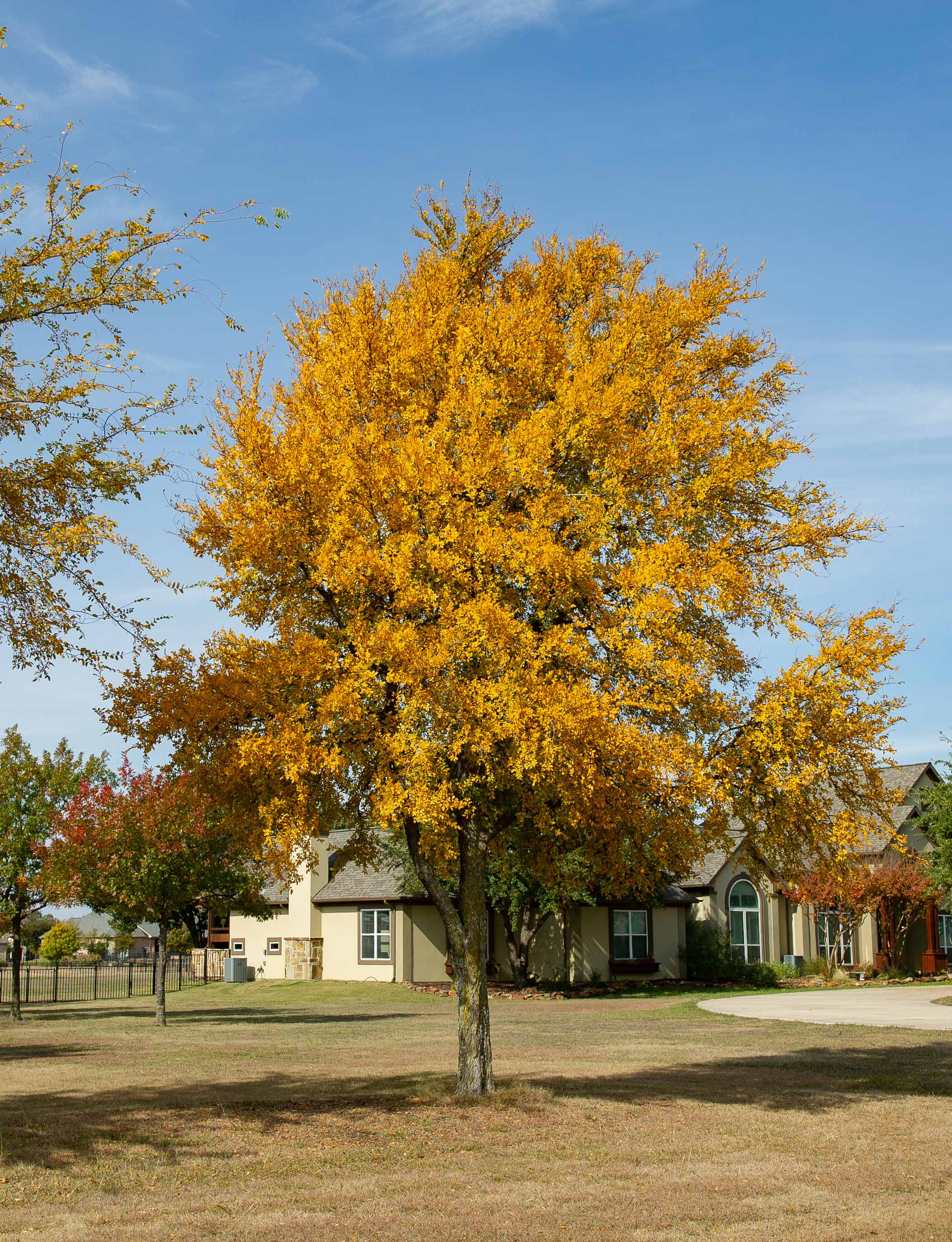 Cedar Elm Tree with Fall Colors