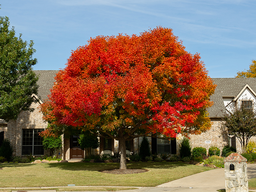 Stunning mature Chinese Pistachio tree with Fall foliage. Photographed in Prosper, TX by Treeland Nursery.