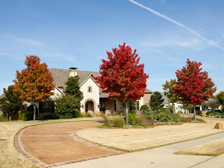Mature October Glory Maple trees turning Fall colors. Photographed by Treeland Nursery in Prosper, TX.