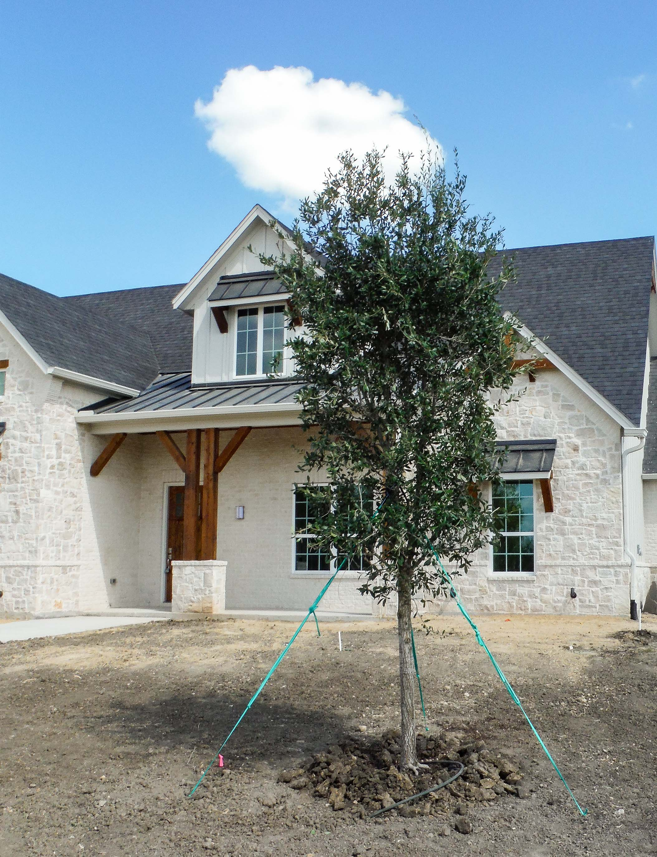 Live Oak tree planted in a frontyard in Lucas, TX by Treeland Nursery.
