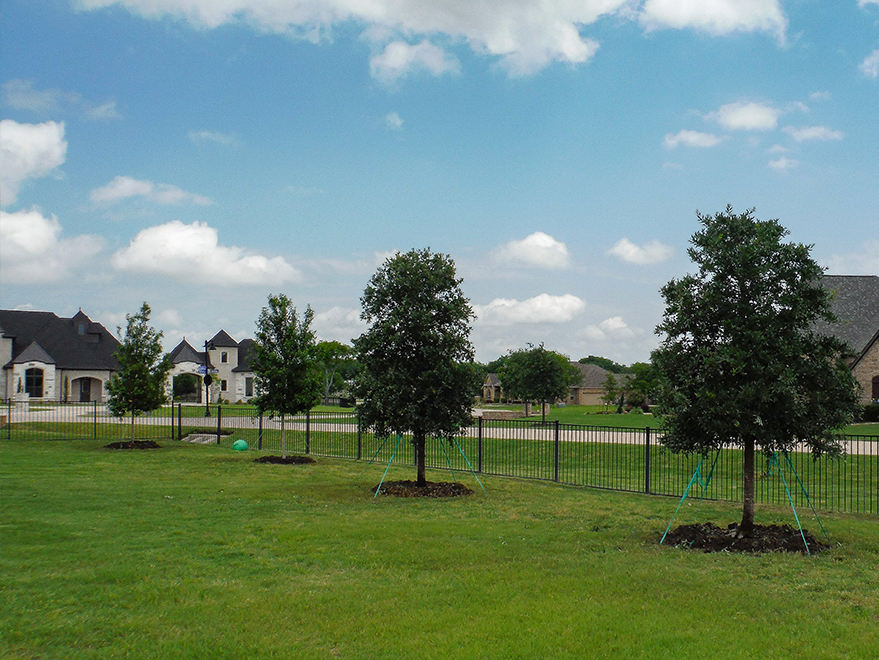Large Live Oaks and Red Oaks planted around a large property. The two on the left are Red Oaks and the trees on the right are Live Oaks. Installed by Treeland Nursery.