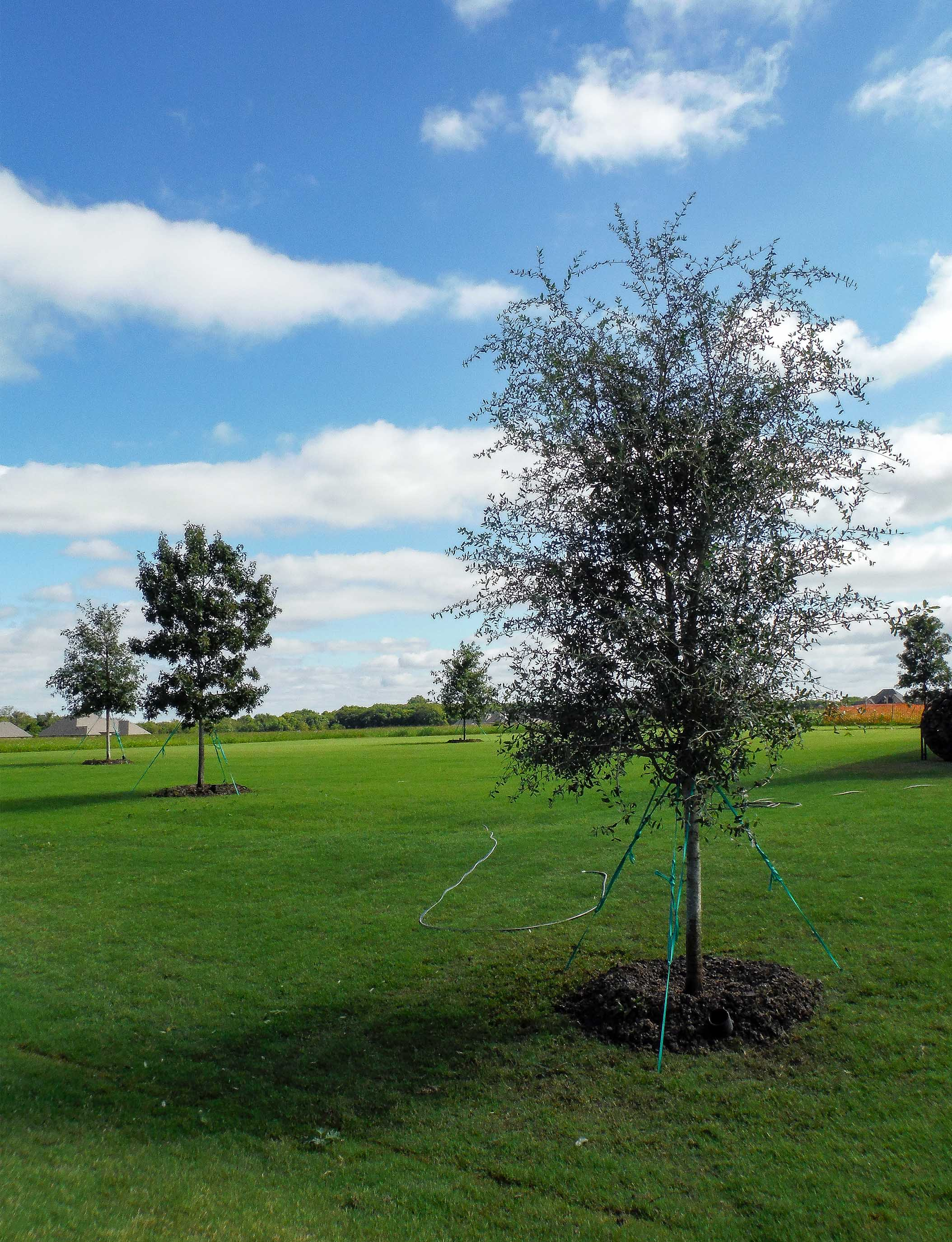 Live Oak tree planted on a large property. Installed by Treeland Nursery