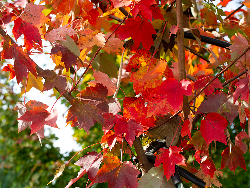 October Glory Maple leaves transitioning to Fall colors. Photographed at Treeland Nursery.