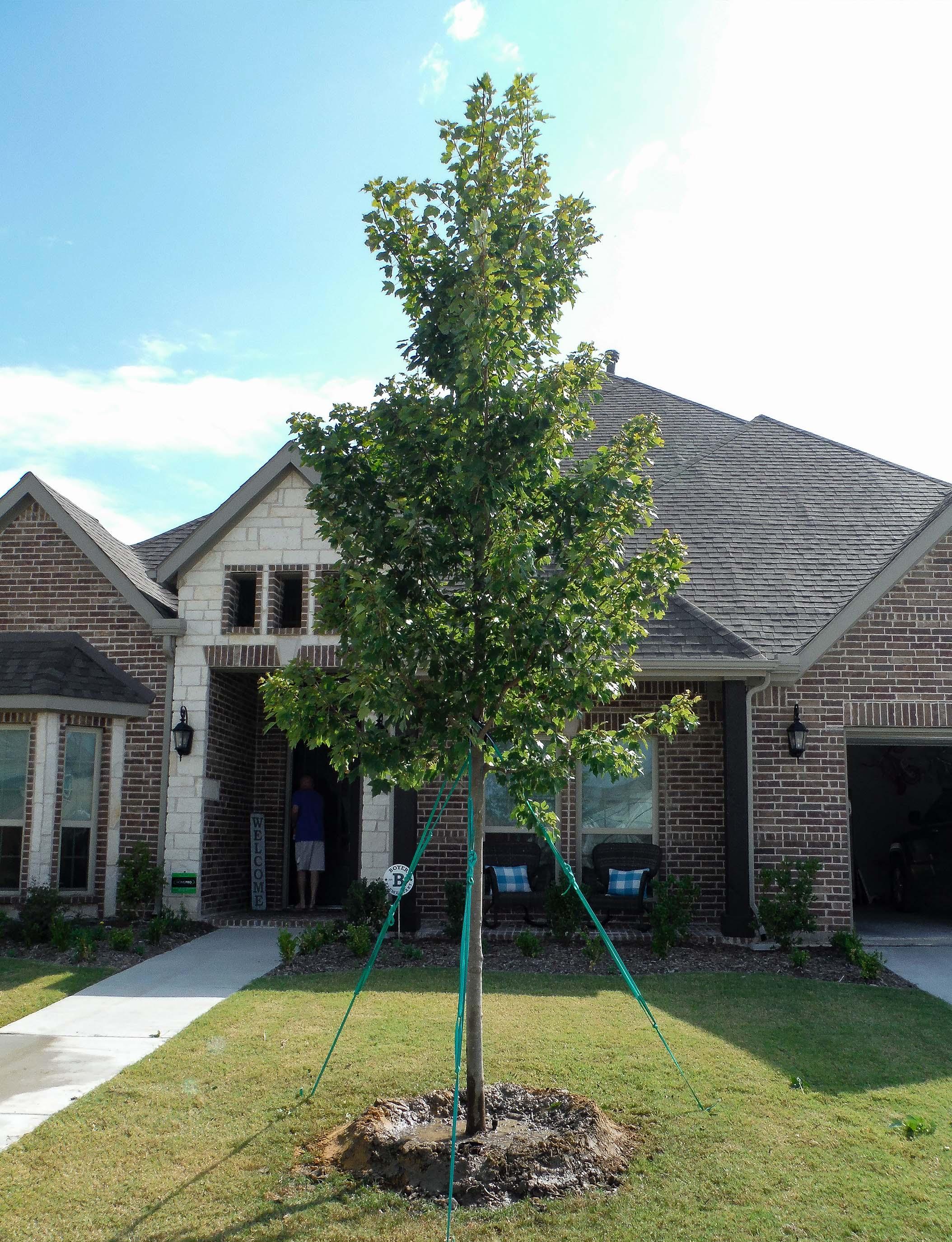 October Glory Maple planted in a Frisco, TX frontyard by Treeland Nursery.