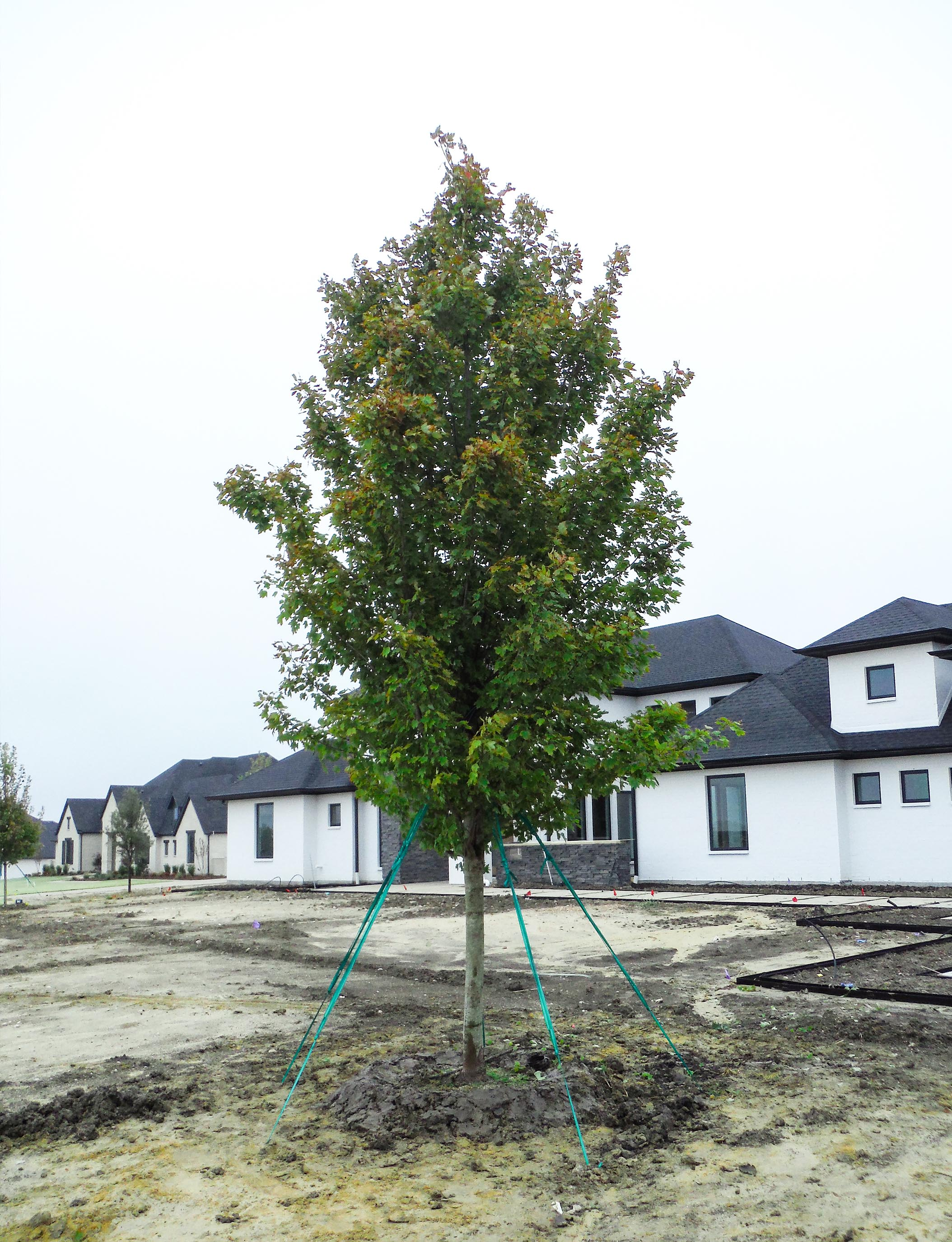 October Glory Maple planted in Southlake, TX by Treeland Nursery.