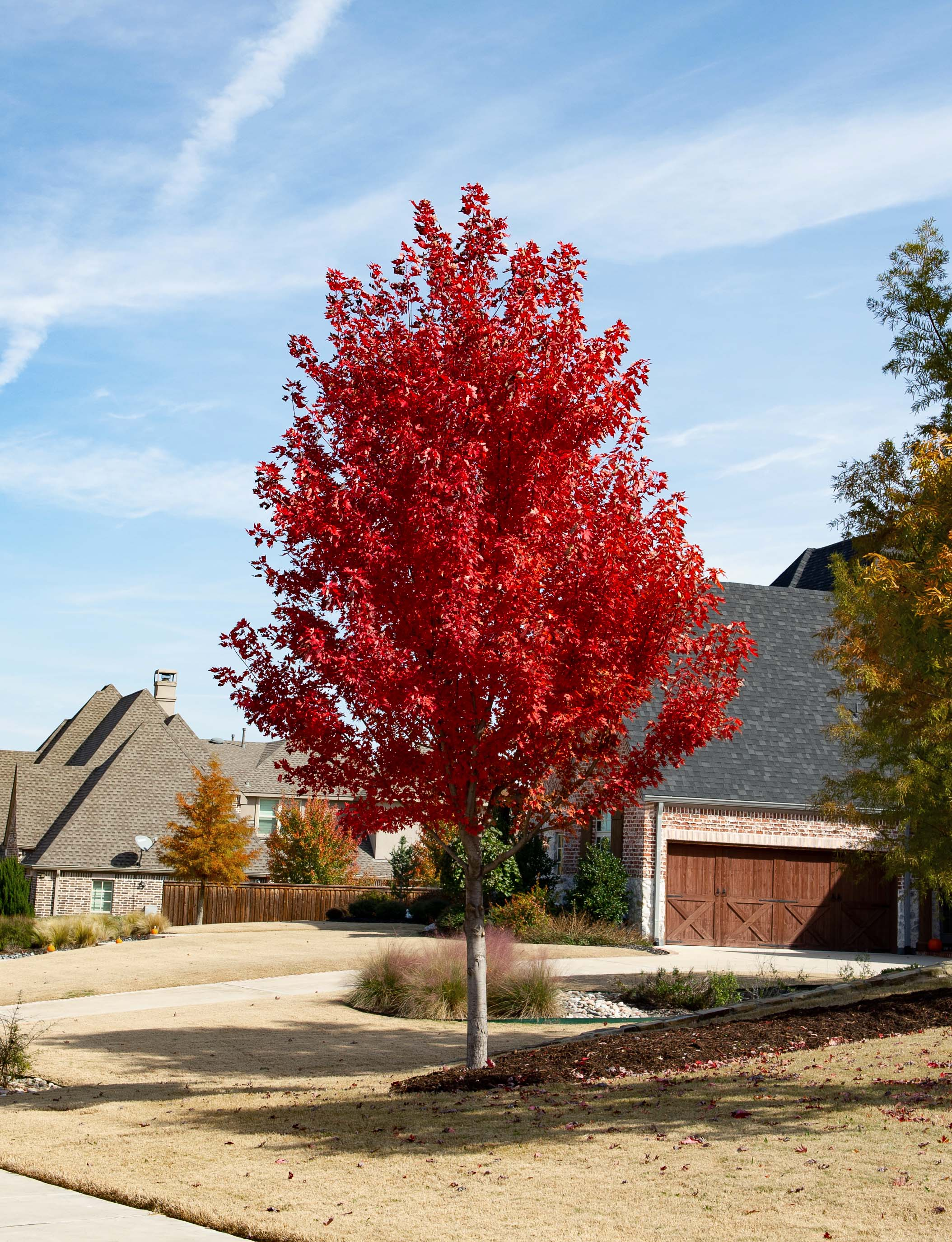 Mature October Glory Maple trees with Fall foliage.. Photographed by Treeland Nursery in Prosper, TX.