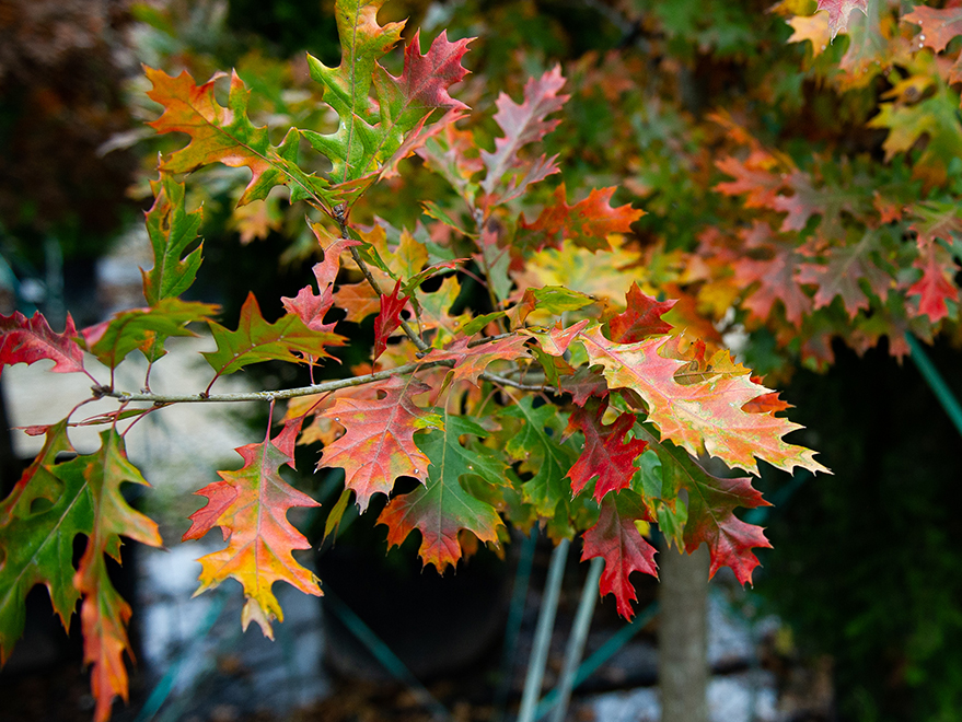 Red Oak just starting to turn colors for the Fall. Picture take at Treeland Nursery.