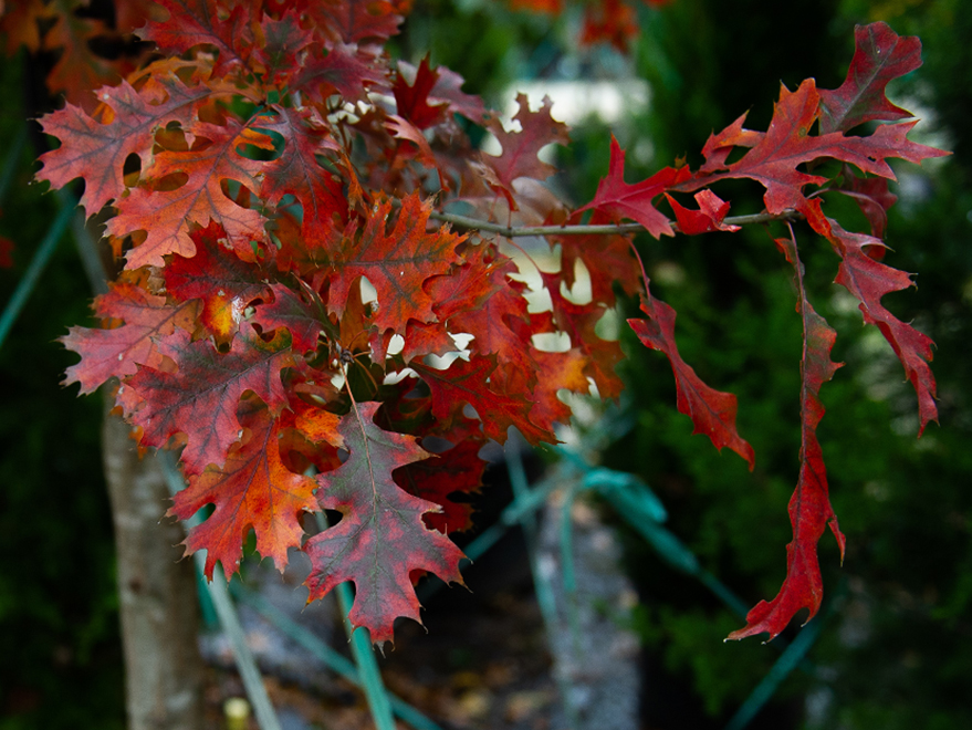 Red Oak with deep red and orange Fall color. Picture take at Treeland Nursery.