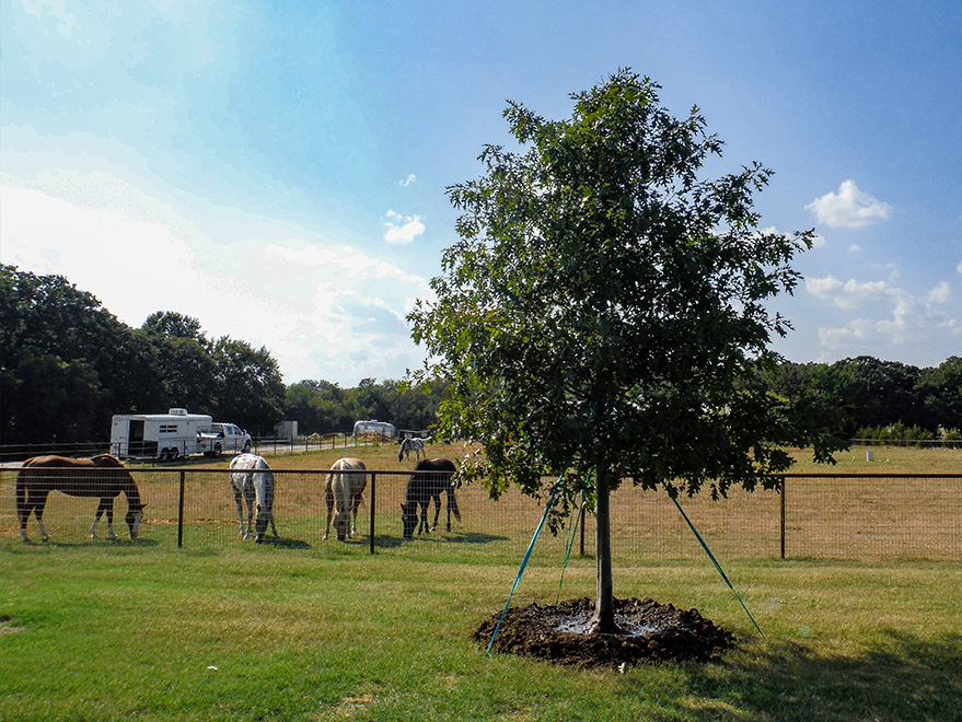 Red Oak tree planted at a horse ranch by Treeland Nursery.