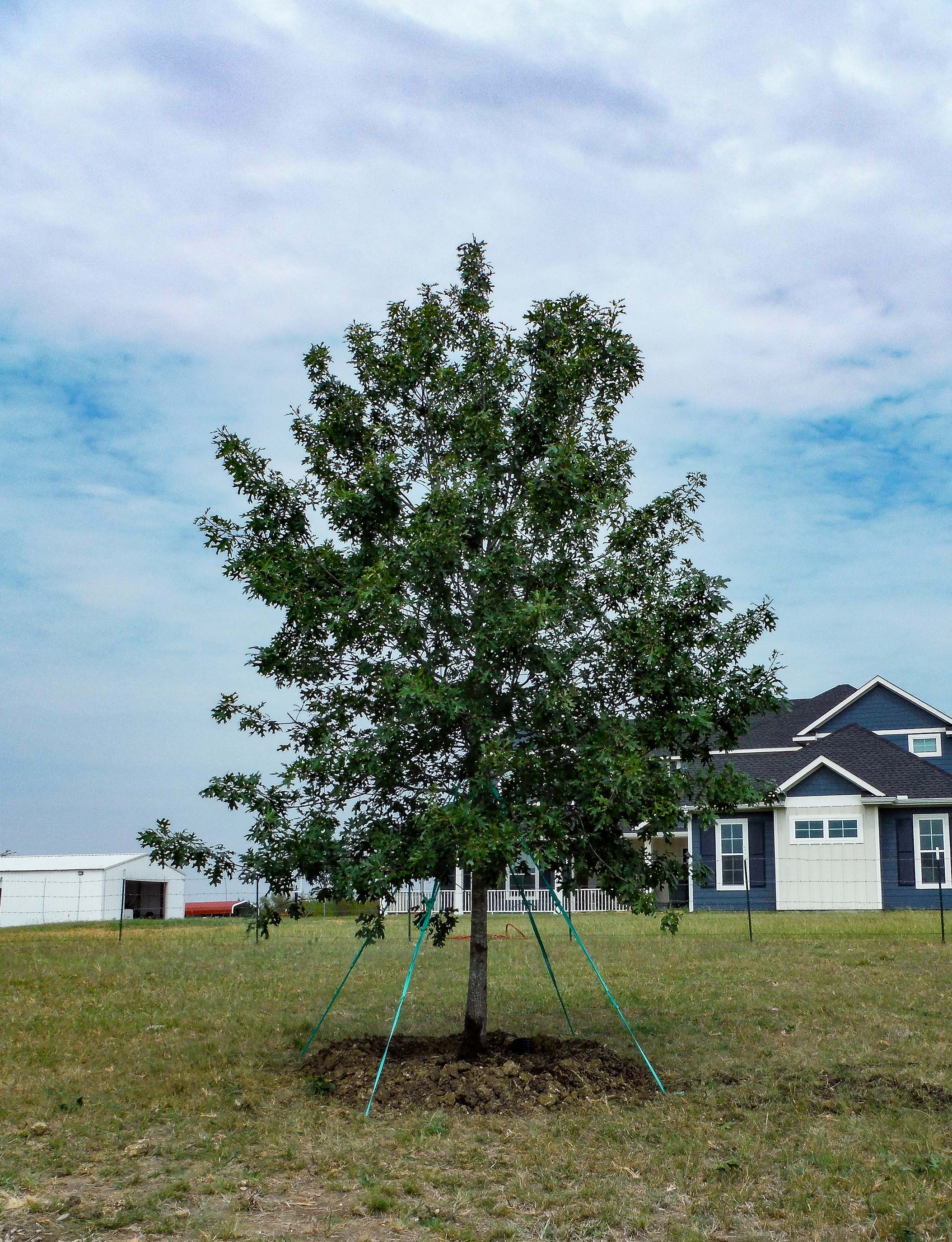 Large Red Oak tree planted in Argyle, TX by Treeland Nursery.