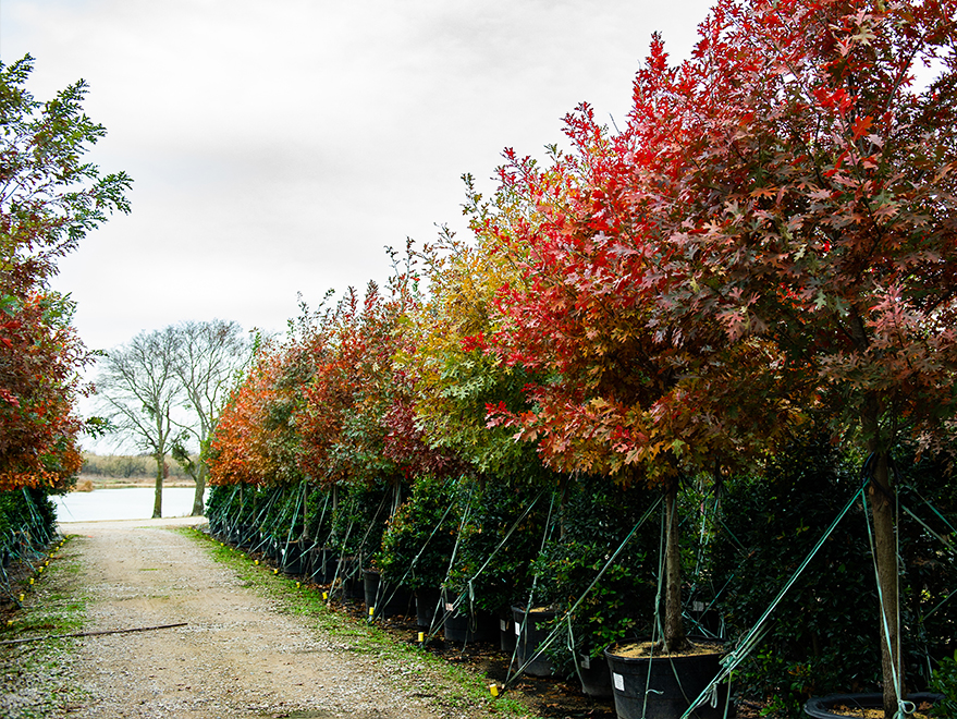 A row of 95 Gallon Red Oaks photographed during the Fall at Treeland Nursery.