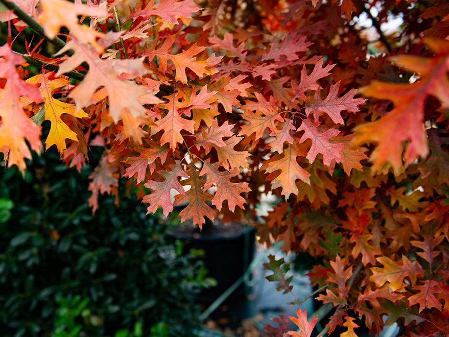 Red Oak with rich orange-red Fall color. Picture take at Treeland Nursery.