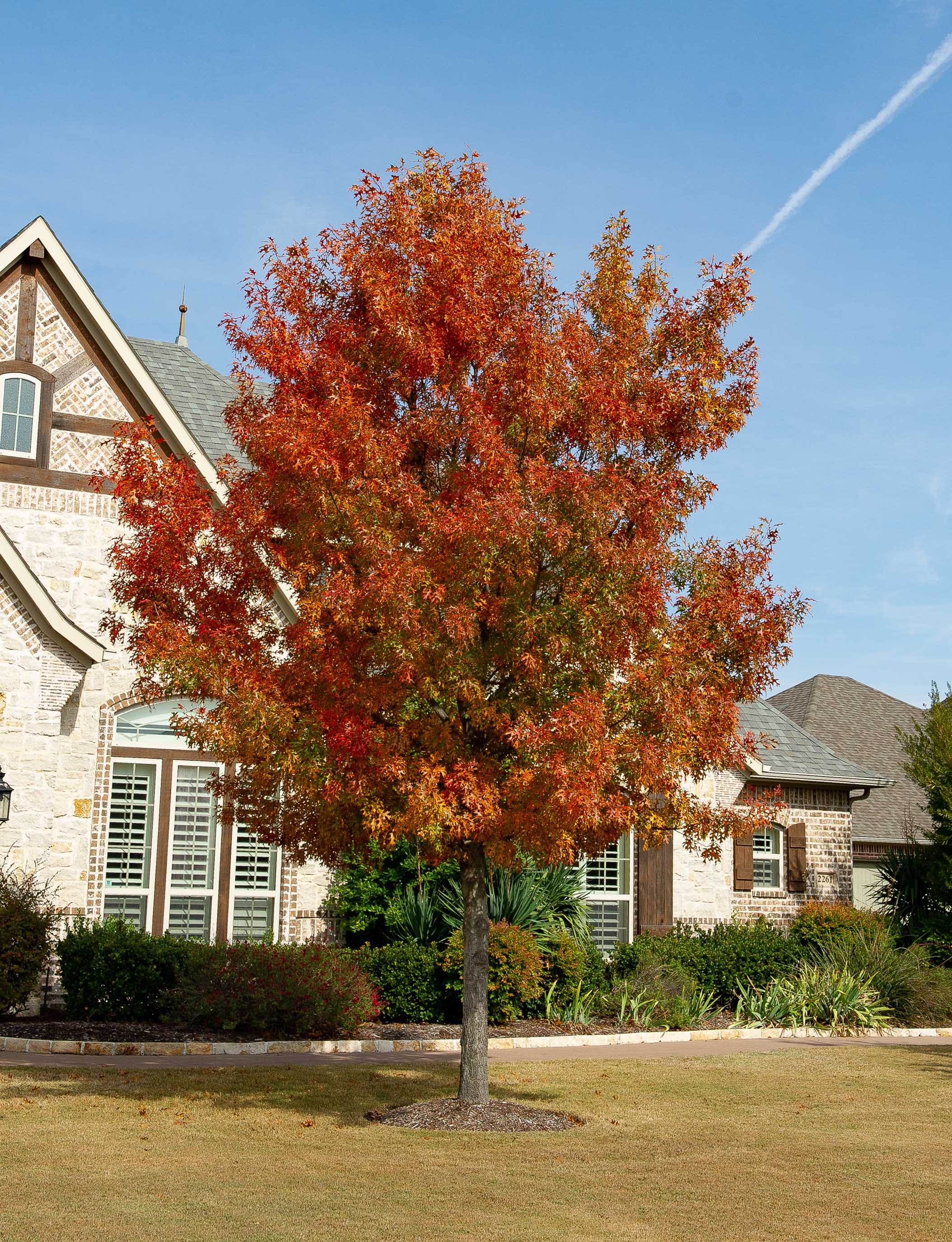 Red Oak tree transitioning during the Fall. Photographed in Prosper, TX by Treeland Nursery.