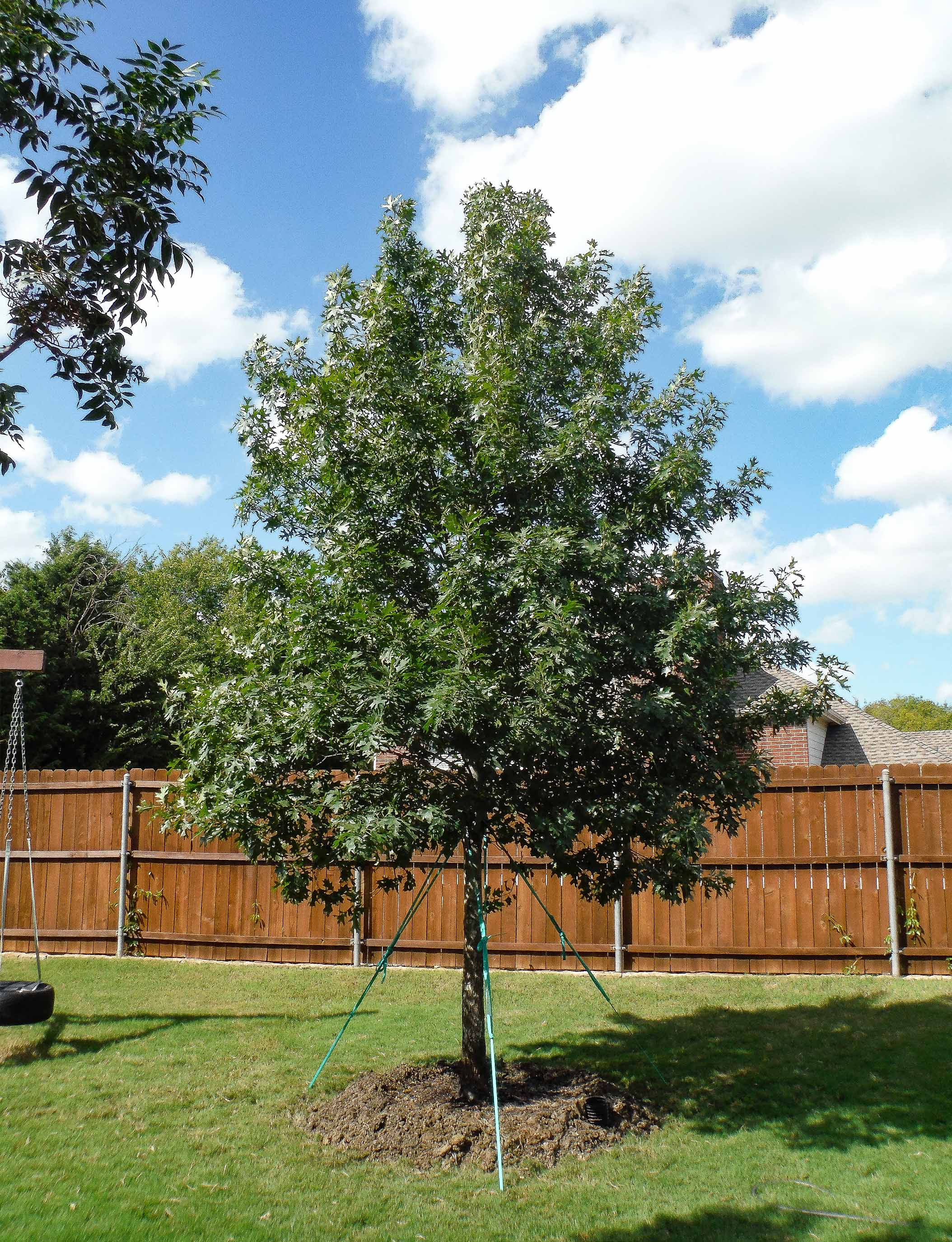 Large Red Oak tree planted in a backyard in DFW by Treeland Nursery.