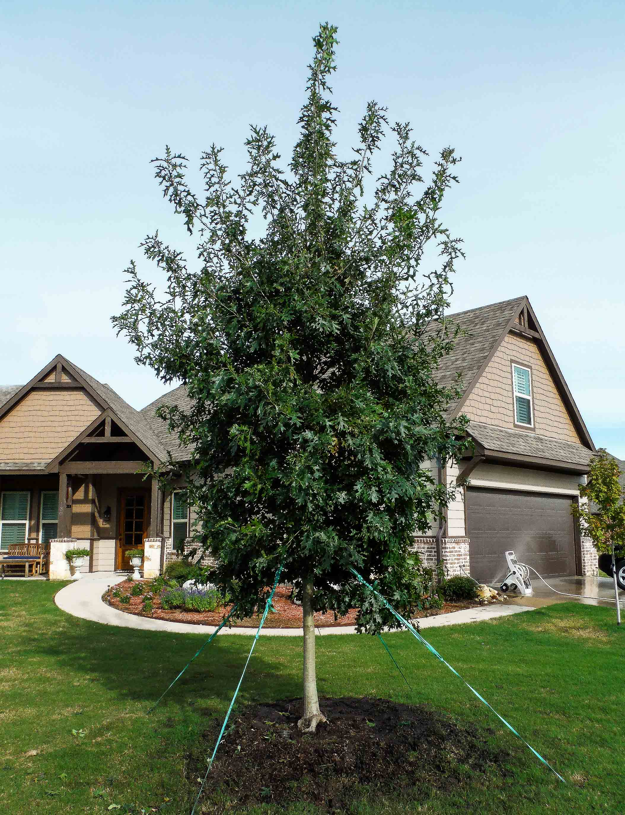 Red Oak tree planted in Dallas Fort Worth area by Treeland Nursery.