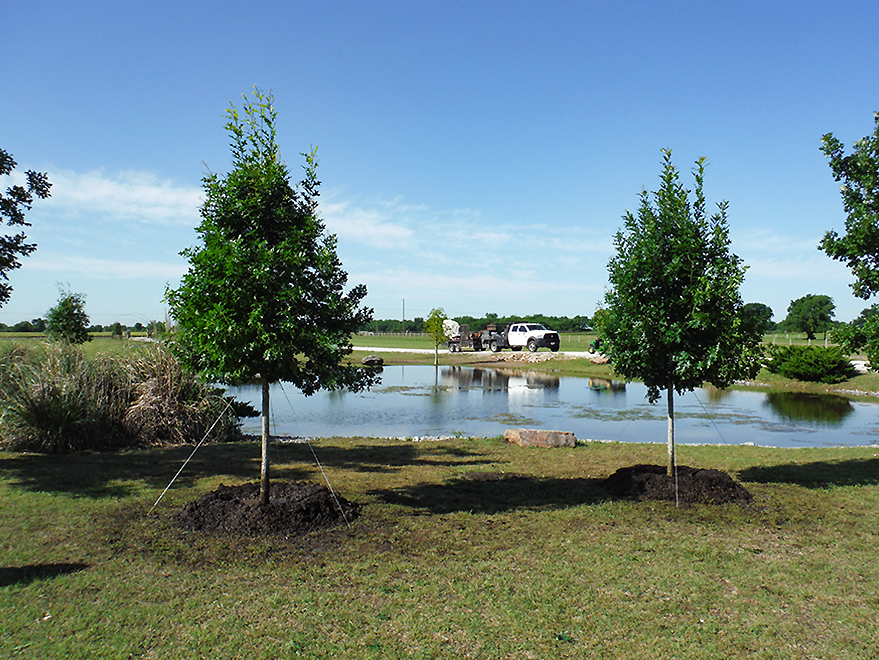 Red Oak trees for sale Dallas, TX.