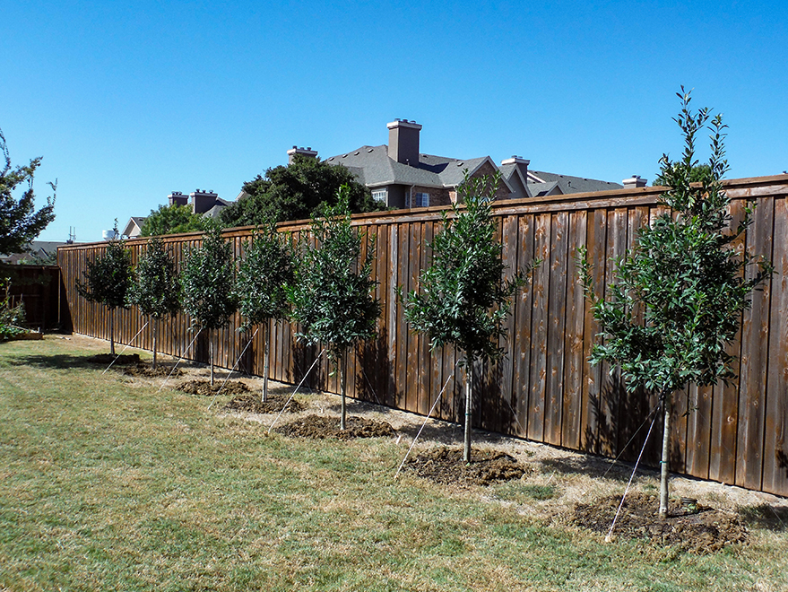 Small Tree Form Eagleston Hollies planted along a fence for privacy screening by Treeland Nursery.