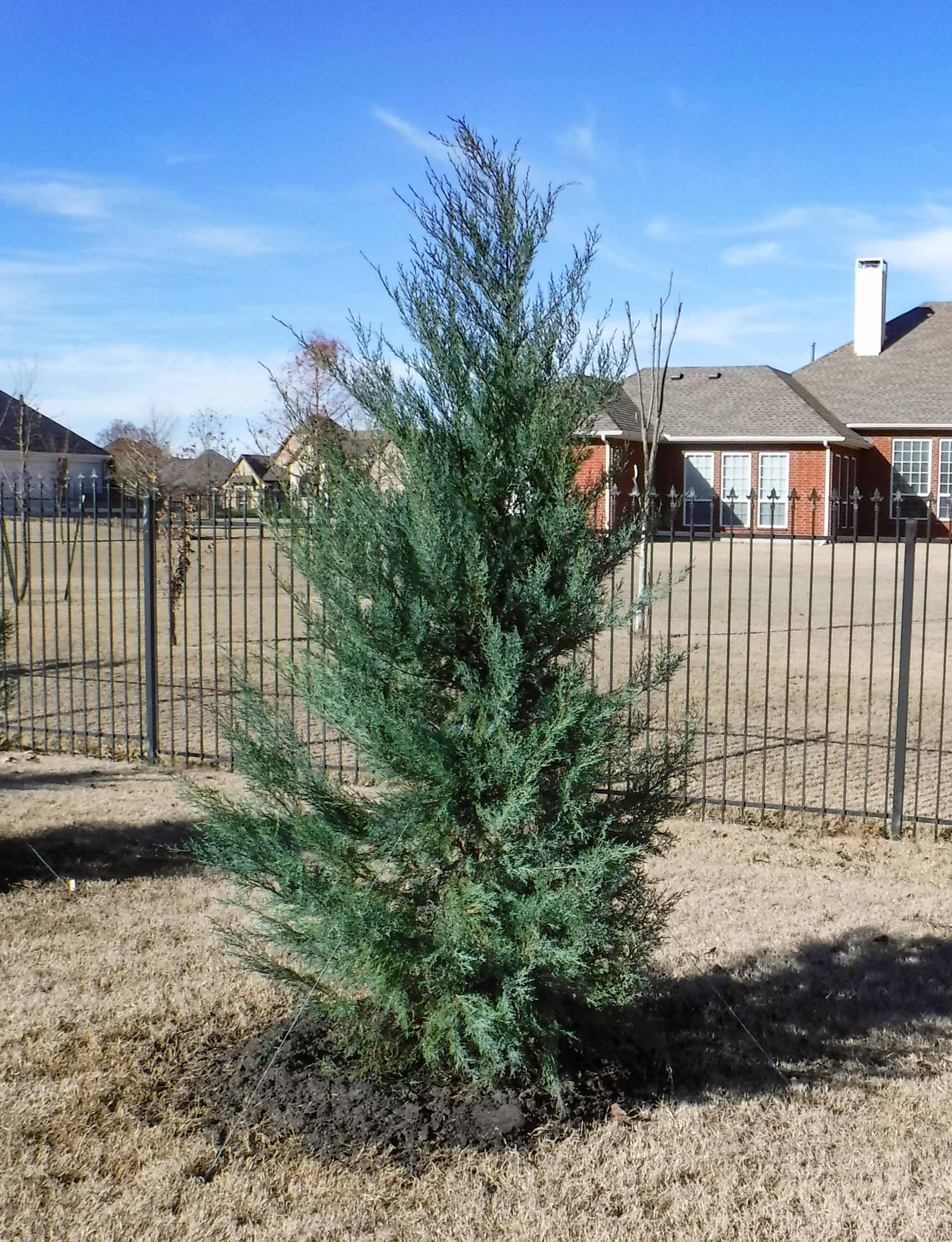 Burkii Eastern Red Cedar