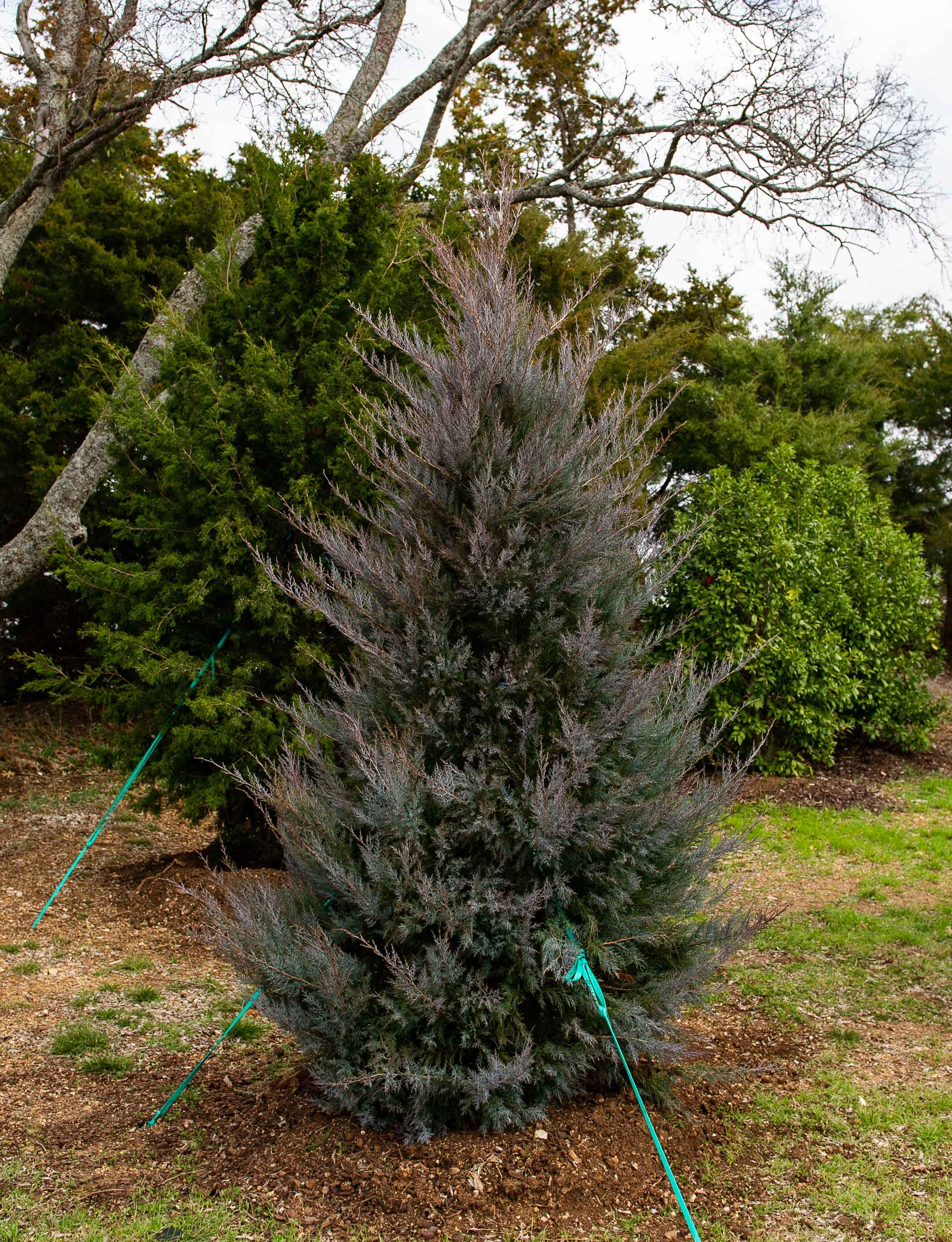 Eastern Red Cedar 'Burkii' trees turn a grayish plum in the Winter when the temperatures drop.