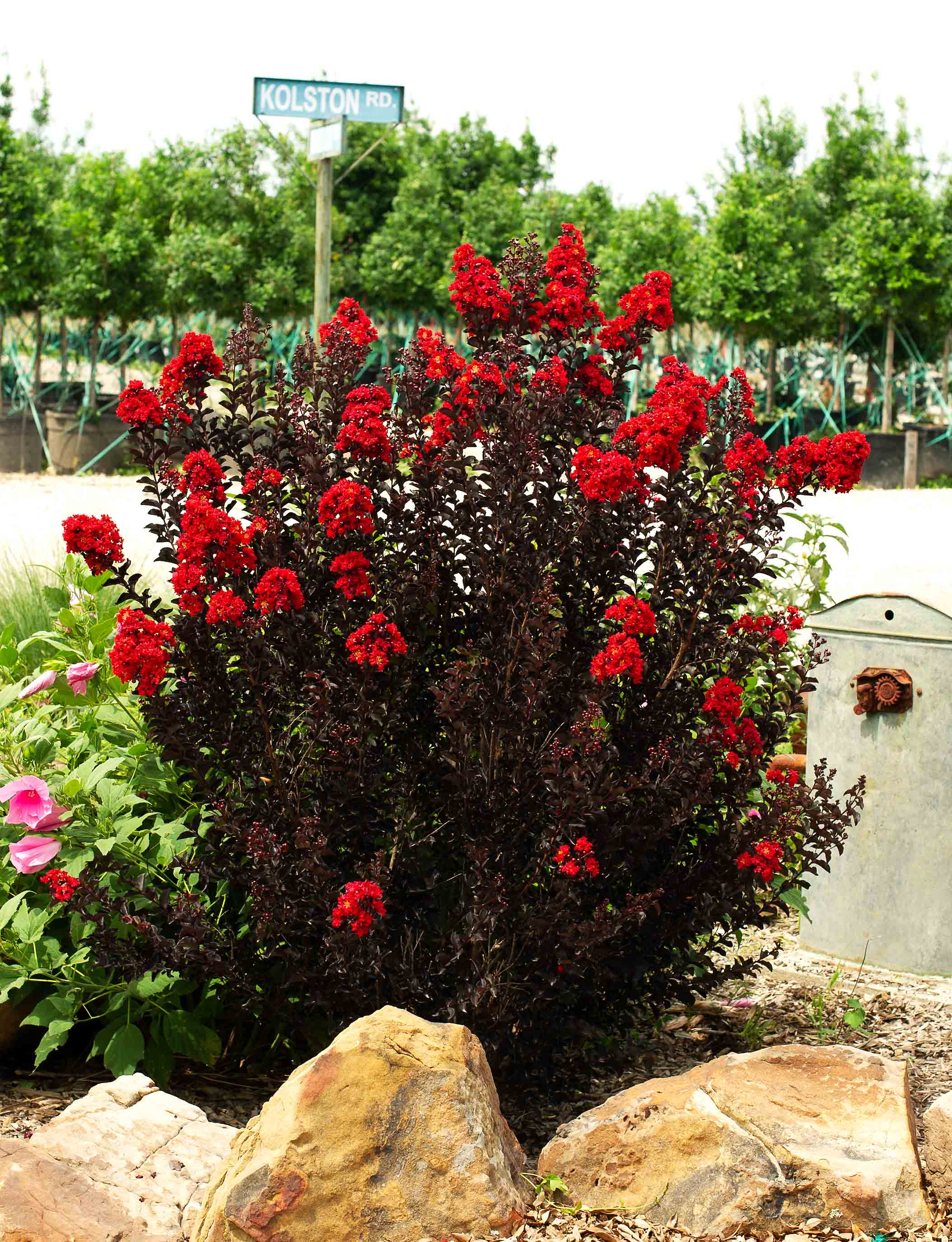 Maturing Black Diamond Crape Myrtle blooming in the Summer. Photographed 3 years after planting at Treeland Nursery.