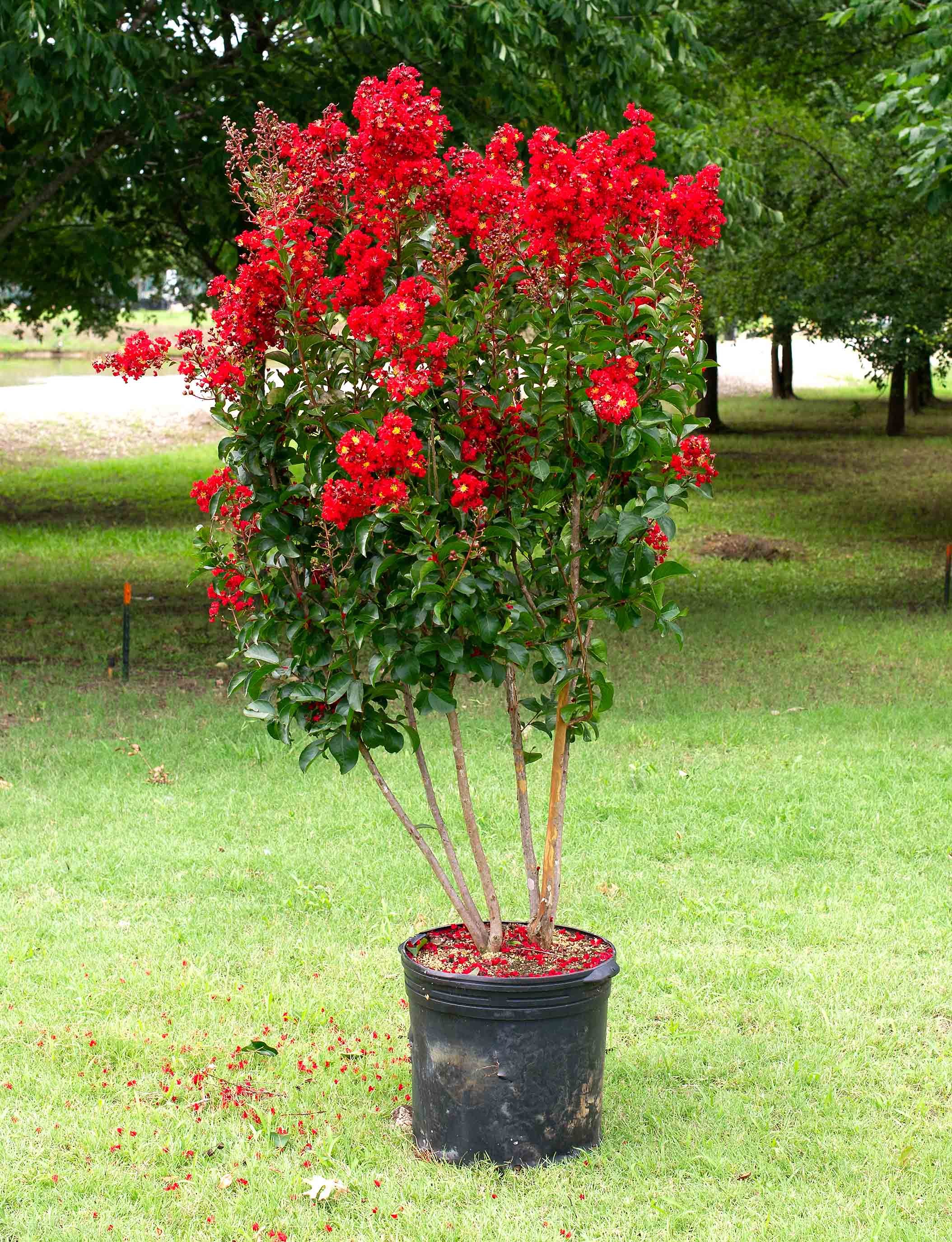 Miss Frances Crape Myrtle blooming in the Summer. Photographed at Treeland Nursery.