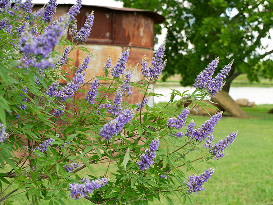 vitex tree shoal creek, chaste tree