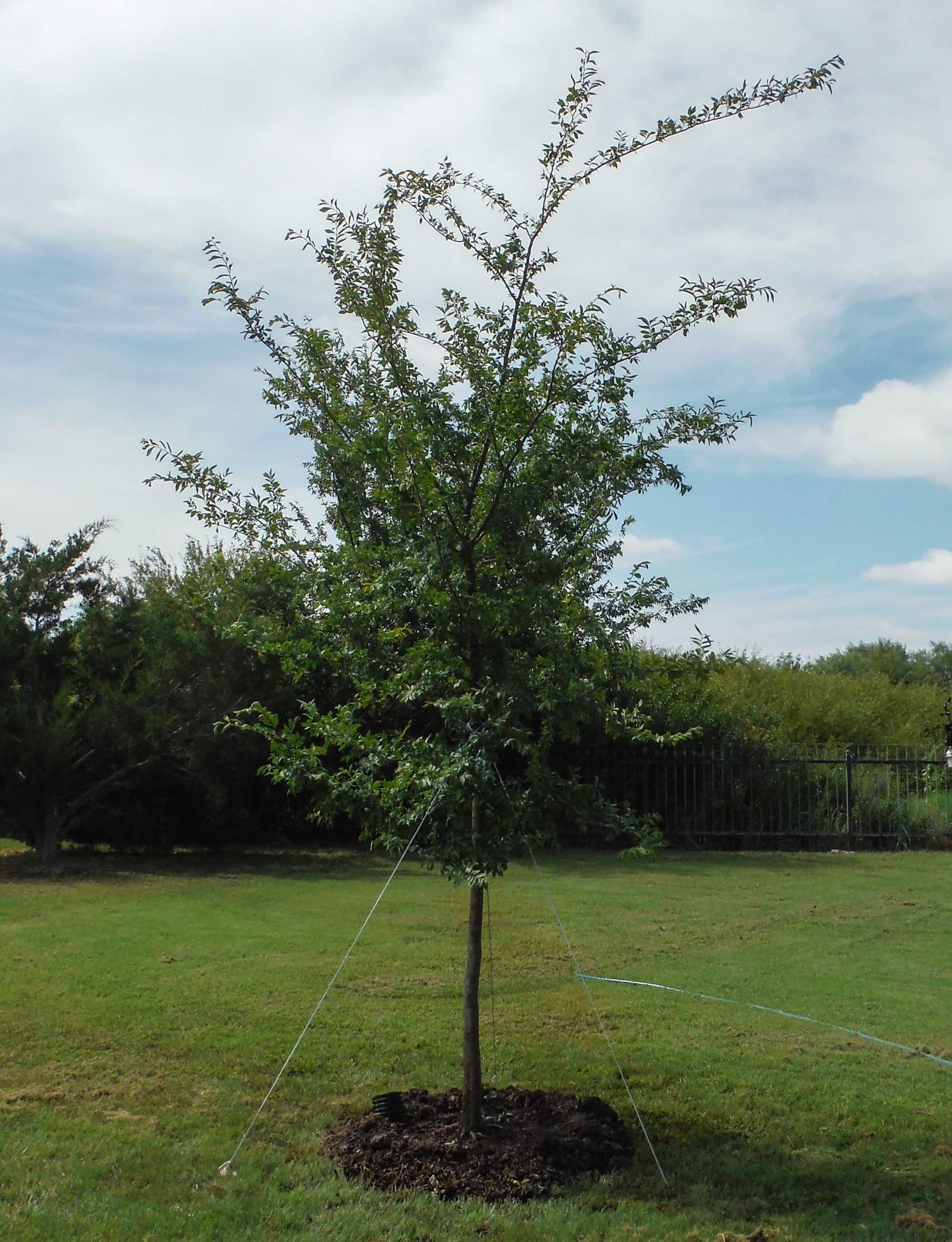 Allee Elm installed by Treeland Nursery