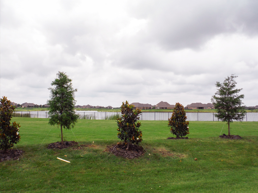 Bald Cypress and Little Gem Magnolias installed by Treeland Nursery.