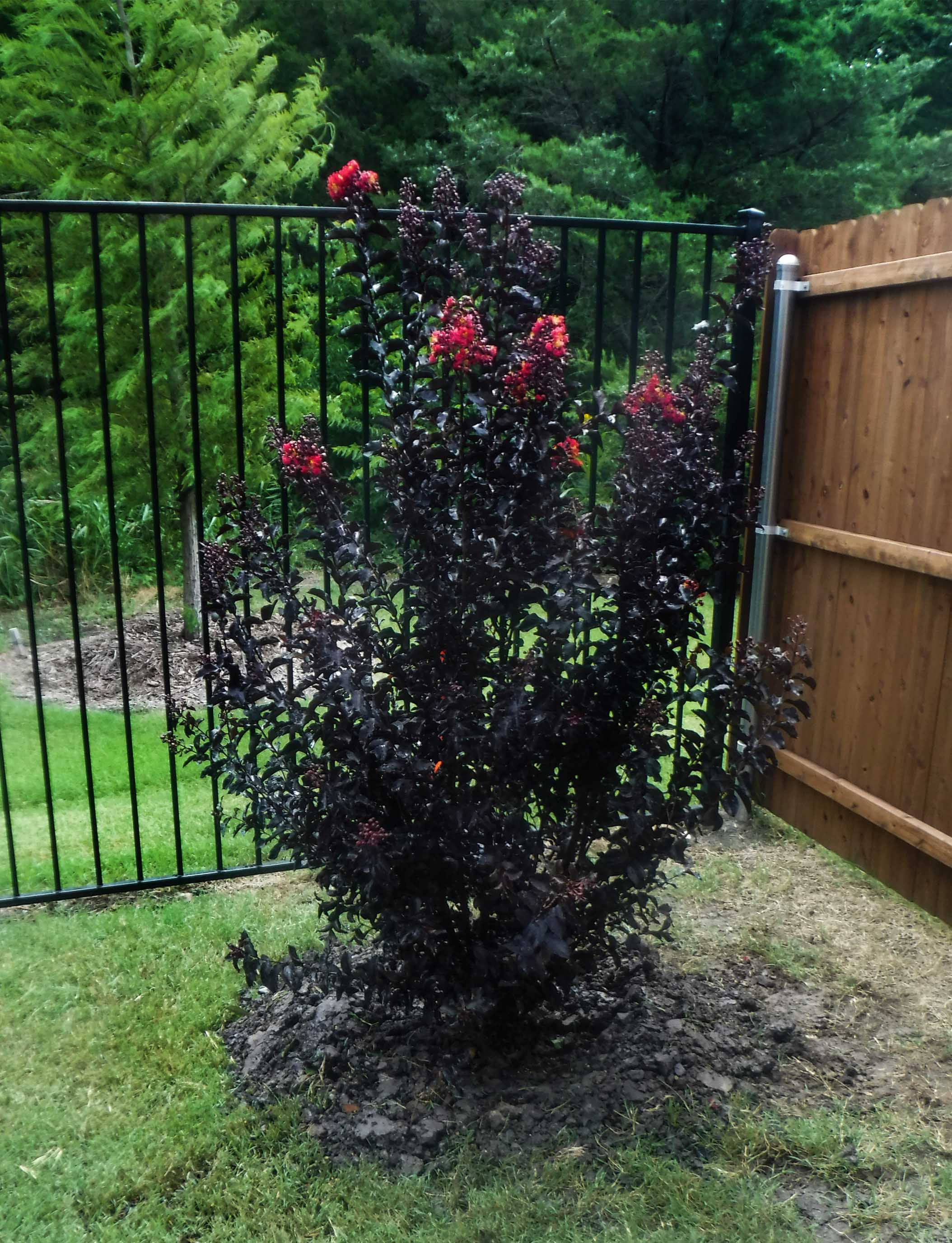 Black Diamond Crape Myrtle installed by Treeland Nursery.