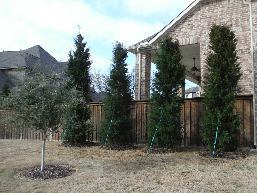 Large Brodie Eastern Red Cedars installed in a backyard to create a privacy screen.