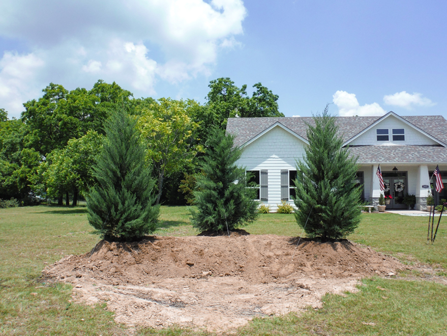 Burkii Eastern Red Cedars installed on a berm.